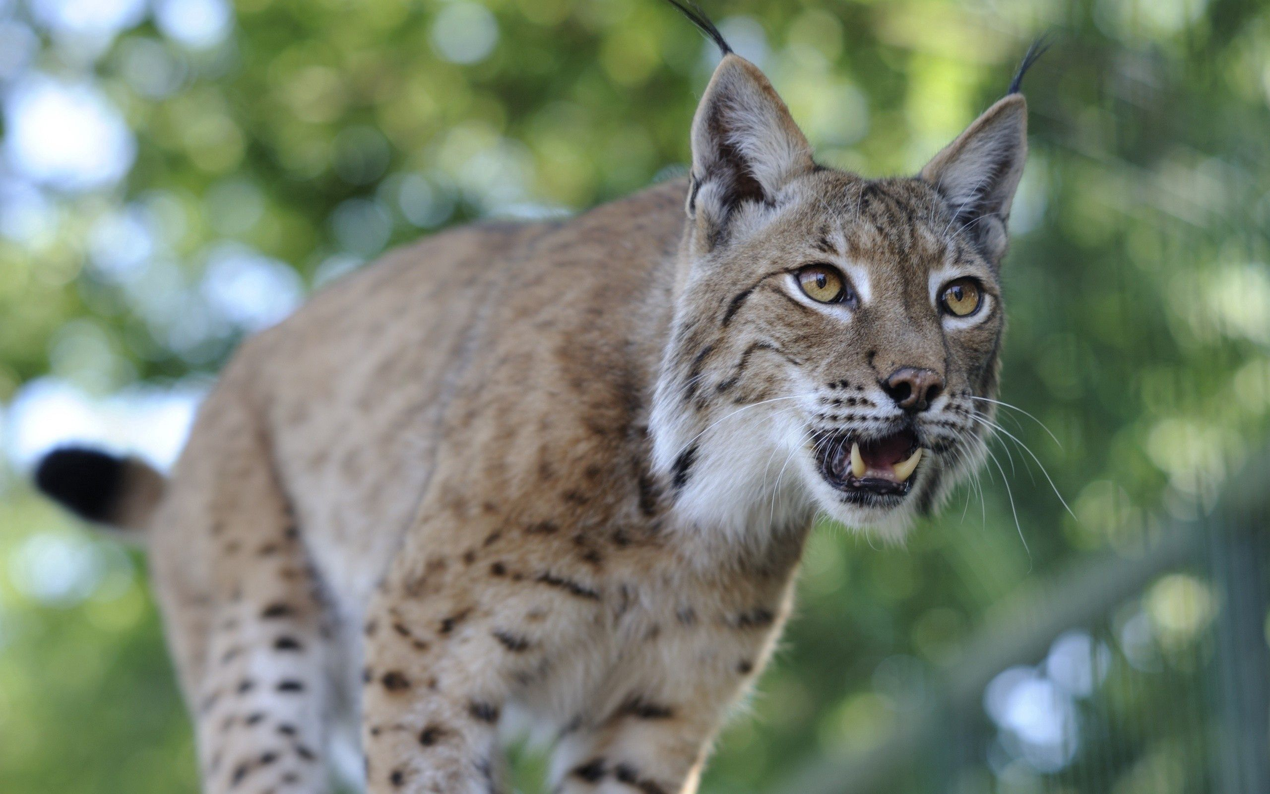 57463 download wallpaper Animals, Iris, Grin, Muzzle, Predator screensavers and pictures for free