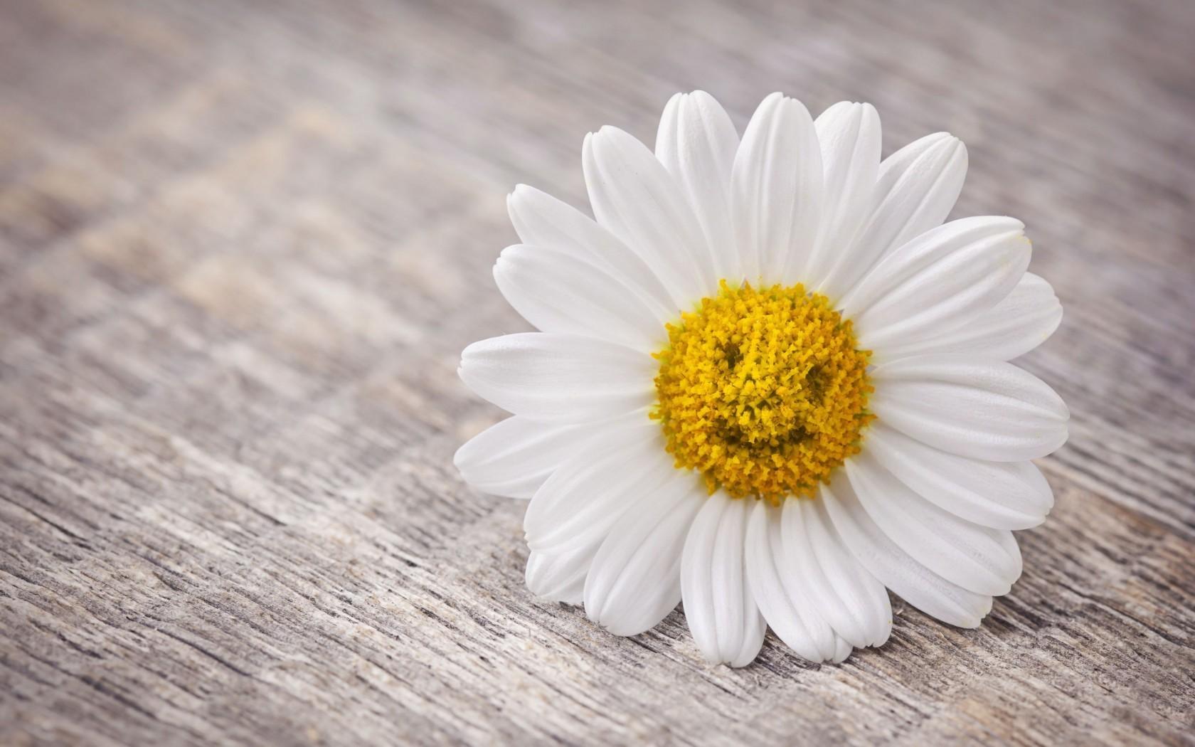 49562 скачать обои Растения, Цветы, Ромашки - заставки и картинки бесплатно