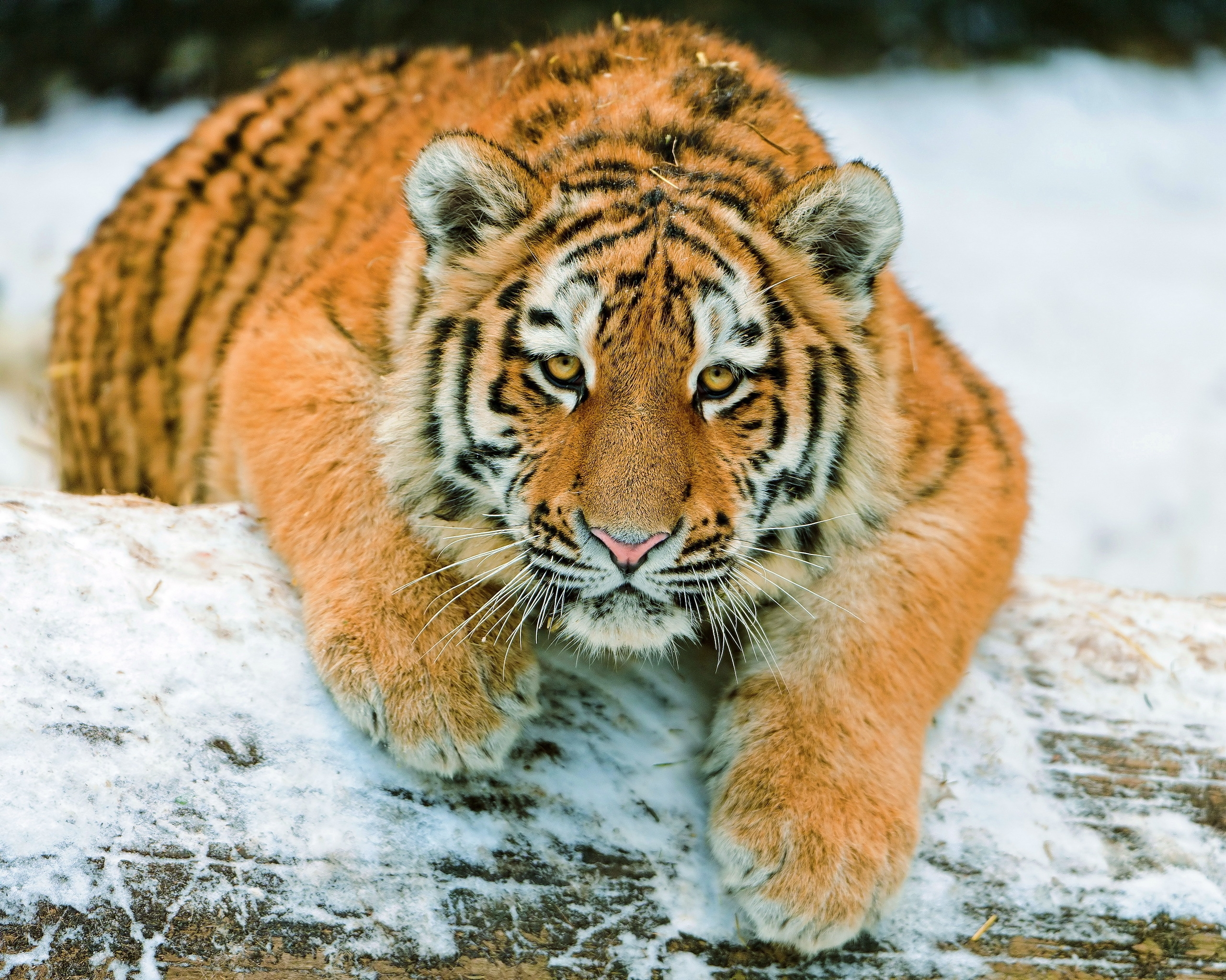 126287 download wallpaper Animals, Tiger Cub, Tiger, Predator, Snow, To Lie Down, Lie screensavers and pictures for free