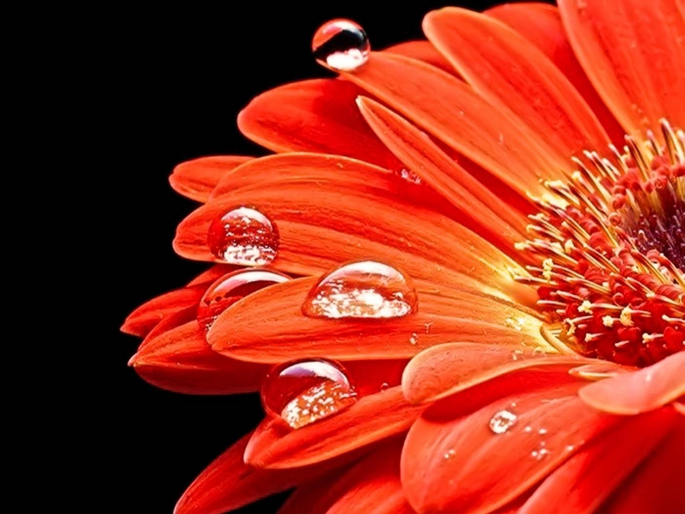 Handy-Wallpaper Pflanzen, Blumen, Drops kostenlos herunterladen.