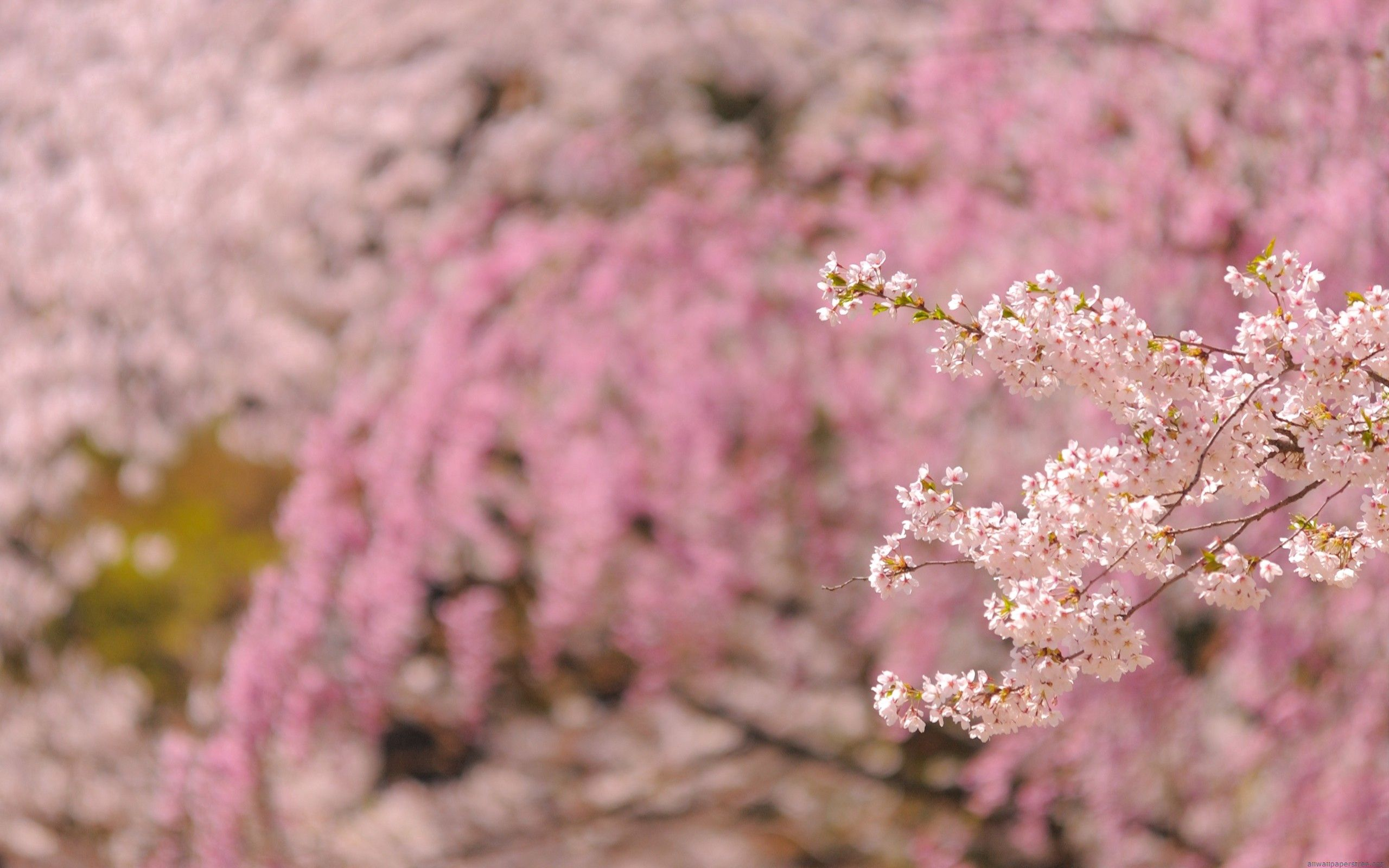 139034 Screensavers and Wallpapers Bloom for phone. Download Nature, Bloom, Flowering, Branch, Spring pictures for free