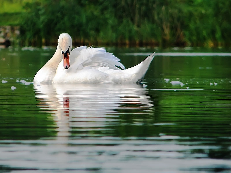 48753 download wallpaper Animals, Birds, Swans screensavers and pictures for free
