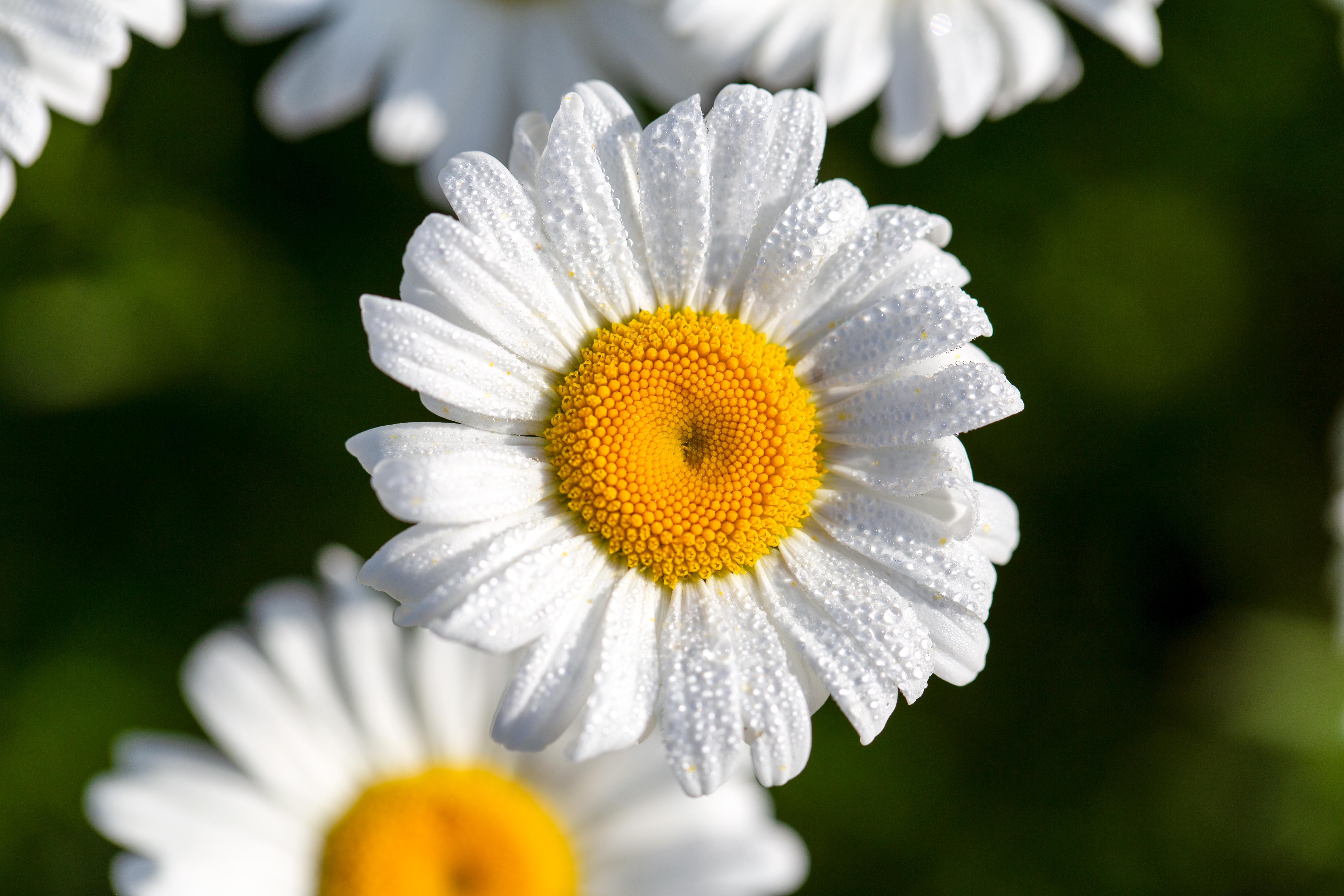 155158 скачать обои Ромашки, Цветы, Капли, Макро, Лепестки - заставки и картинки бесплатно