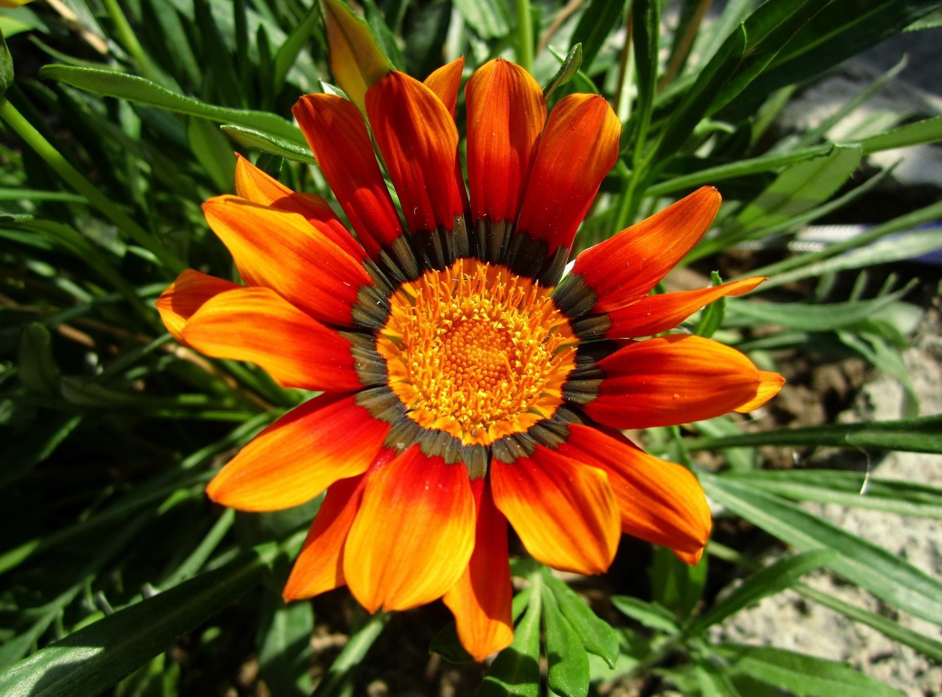 118972 скачать обои Цветы, Газания, Цветок, Клумба, Зелень, Грунт, Крупный План - заставки и картинки бесплатно