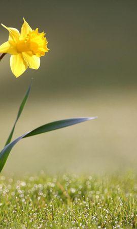 16422 descargar fondo de pantalla Plantas, Flores, Narcisos: protectores de pantalla e imágenes gratis