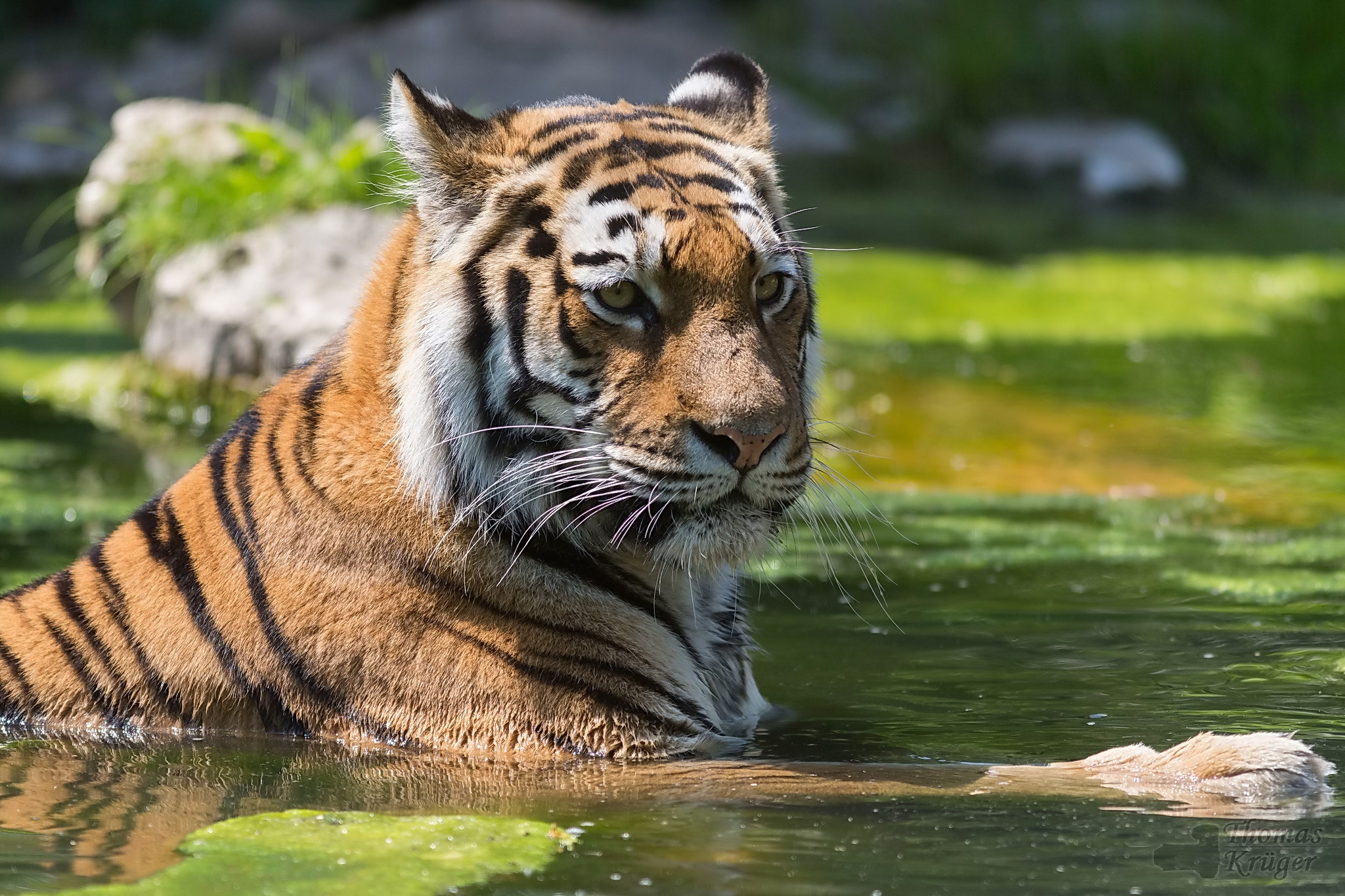 148803 download wallpaper Water, Animals, Predator, Tiger, To Swim, Swim screensavers and pictures for free