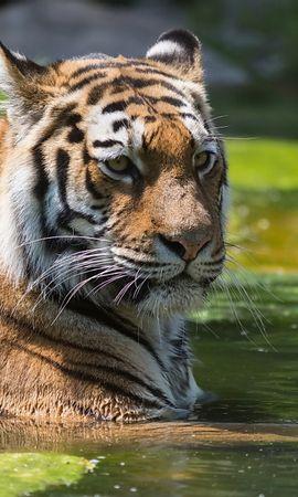 148803 免費下載壁紙 动物, 老虎, 虎, 游泳, 水, 捕食者 屏保和圖片
