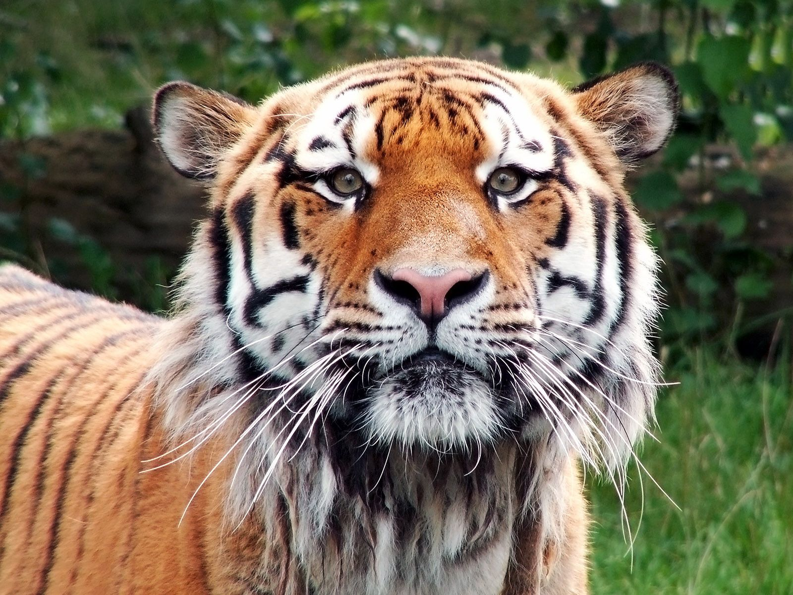 144667 download wallpaper Animals, Tiger, Muzzle, Satisfied, Content, Sight, Opinion, Big Cat screensavers and pictures for free
