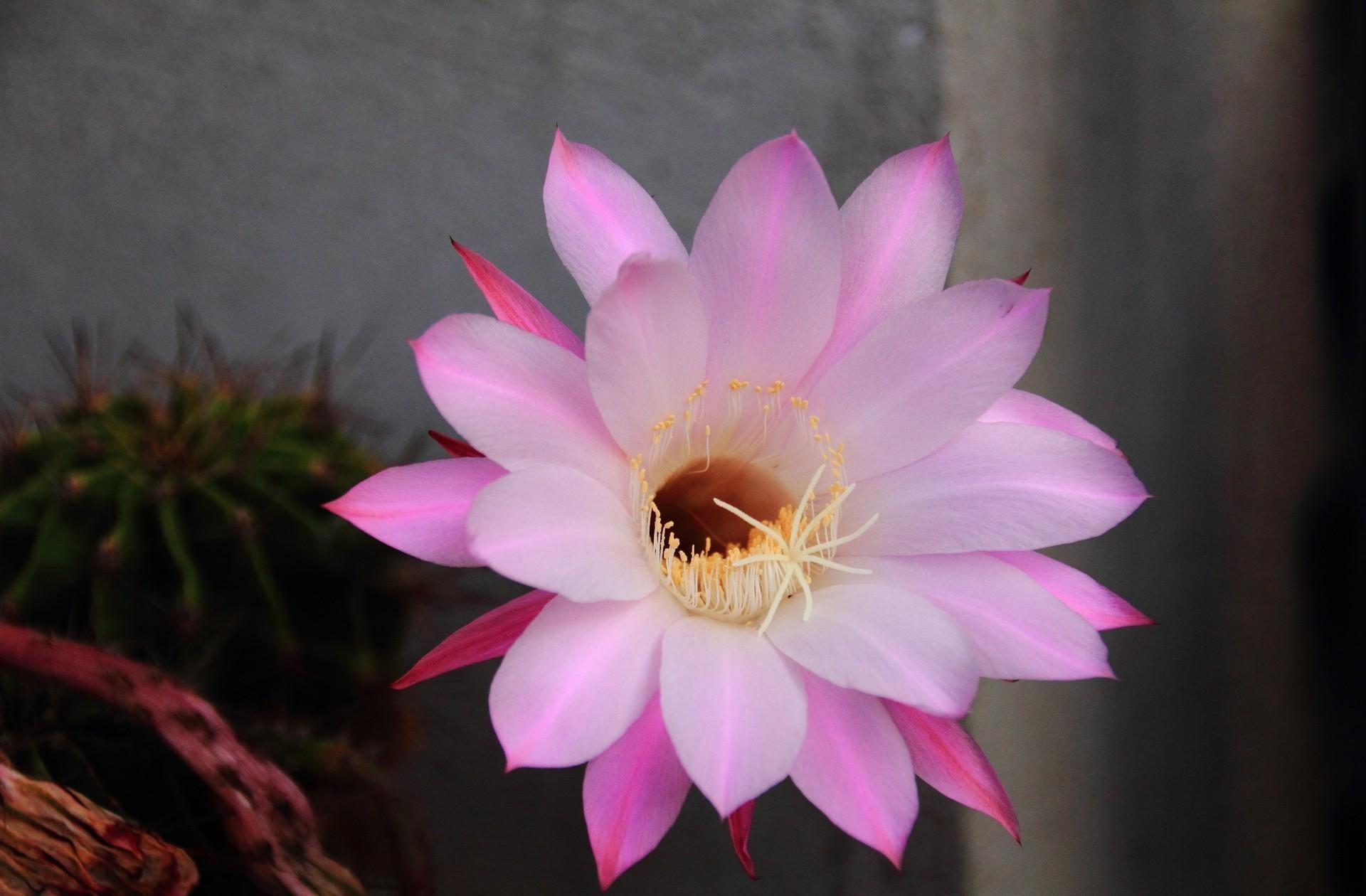 151917 descargar fondo de pantalla Flores, Cactus, Cacto, Florecer, Floración, Flor, Pétalos, Aguja: protectores de pantalla e imágenes gratis