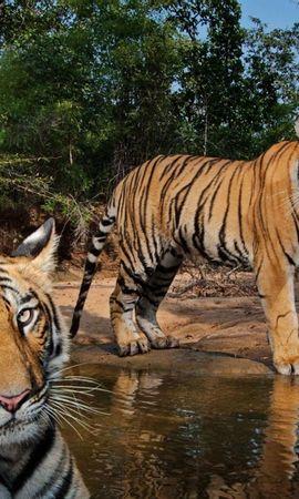 122360壁紙のダウンロード動物, カップル, 双, 水, 捕食者, 捕食 者, 阪神タイガース-スクリーンセーバーと写真を無料で