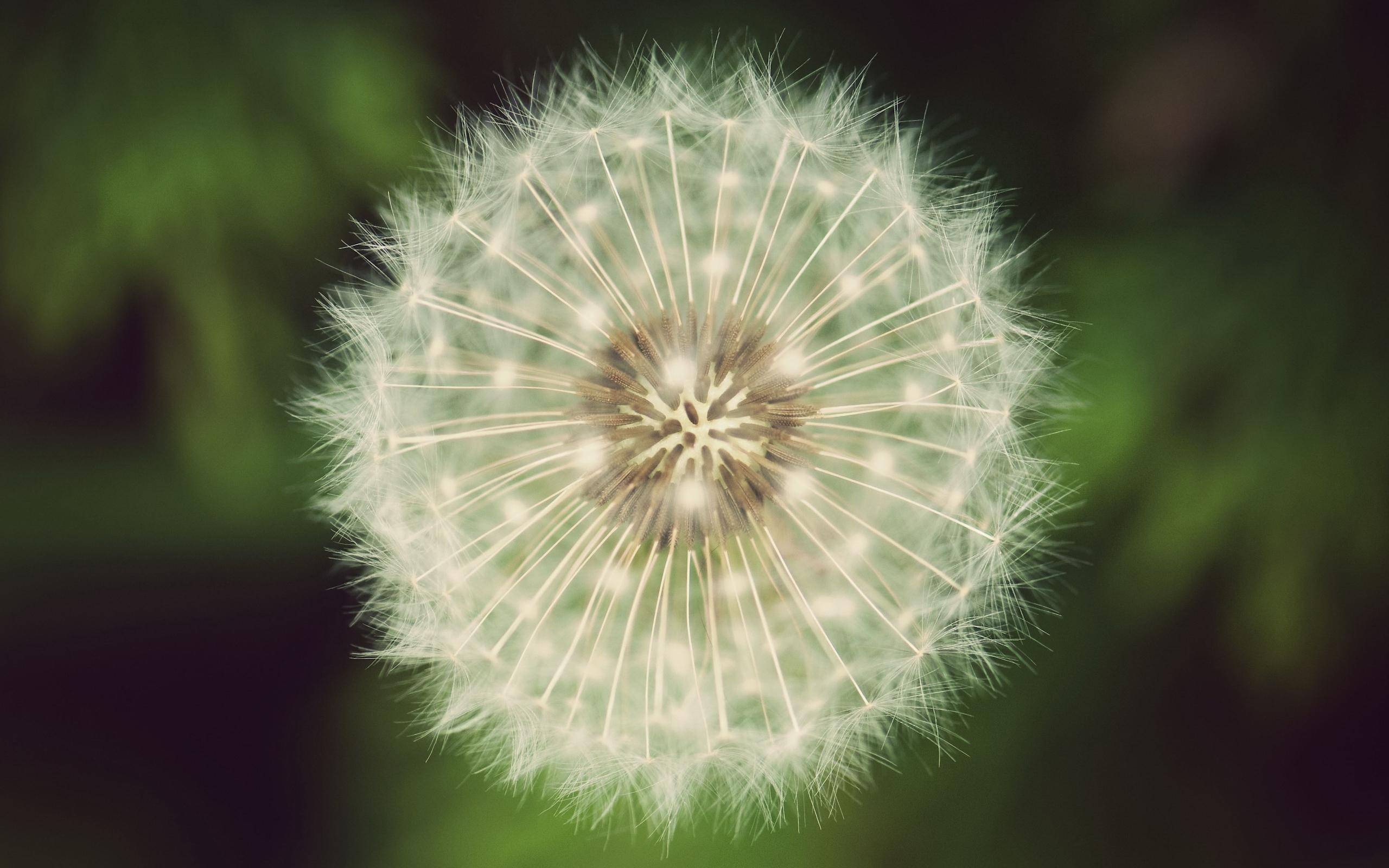 6968 скачать обои Растения, Цветы, Одуванчики - заставки и картинки бесплатно