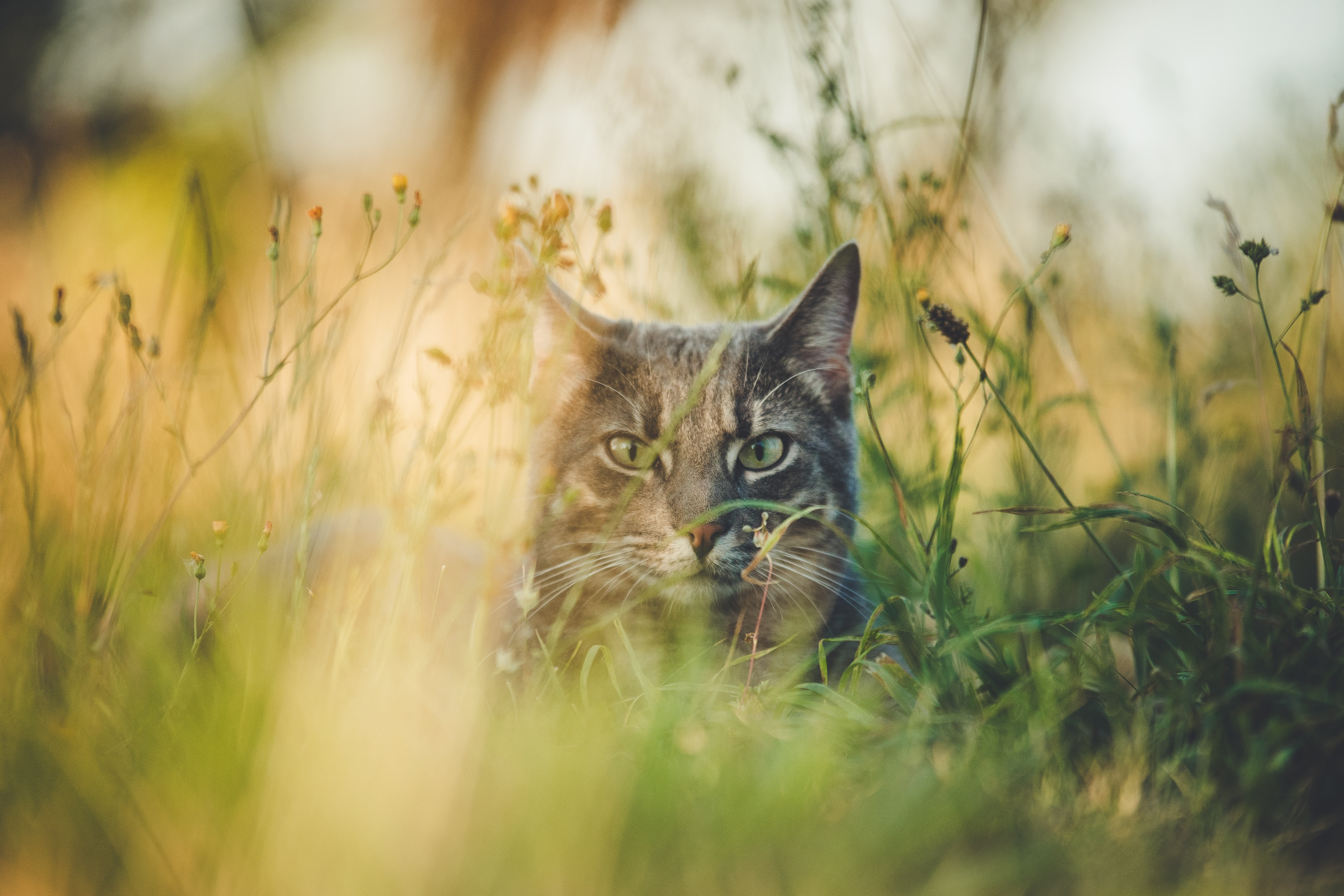 56451 download wallpaper Animals, Grass, Cat, Pet, Hide, Animal screensavers and pictures for free