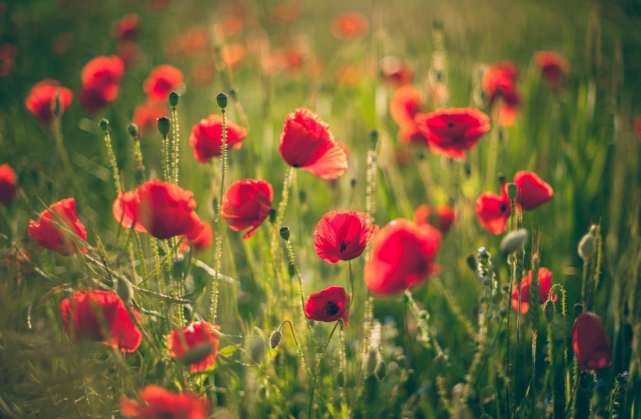 79683 скачать обои Цветы, Маки, Поле, Размытость, Лето, Солнечно - заставки и картинки бесплатно