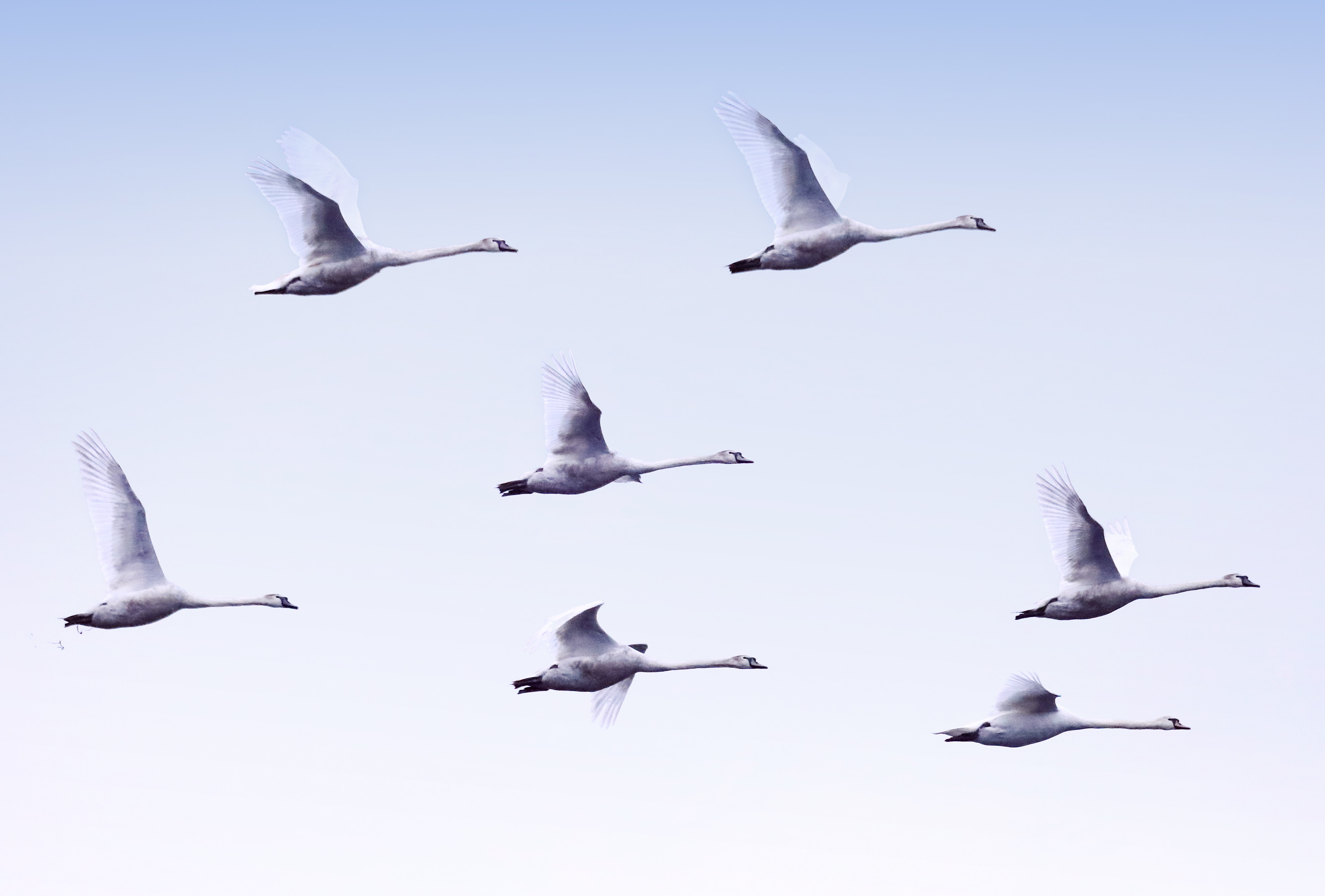 79150 download wallpaper Animals, Swans, Flight, Birds screensavers and pictures for free
