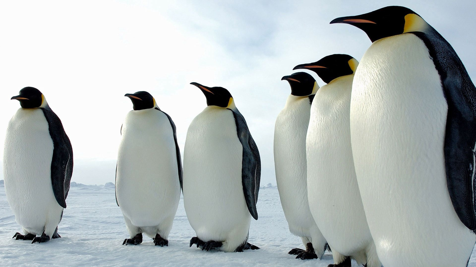 137664 download wallpaper Animals, Birds, Pinguins, Color, Flock screensavers and pictures for free