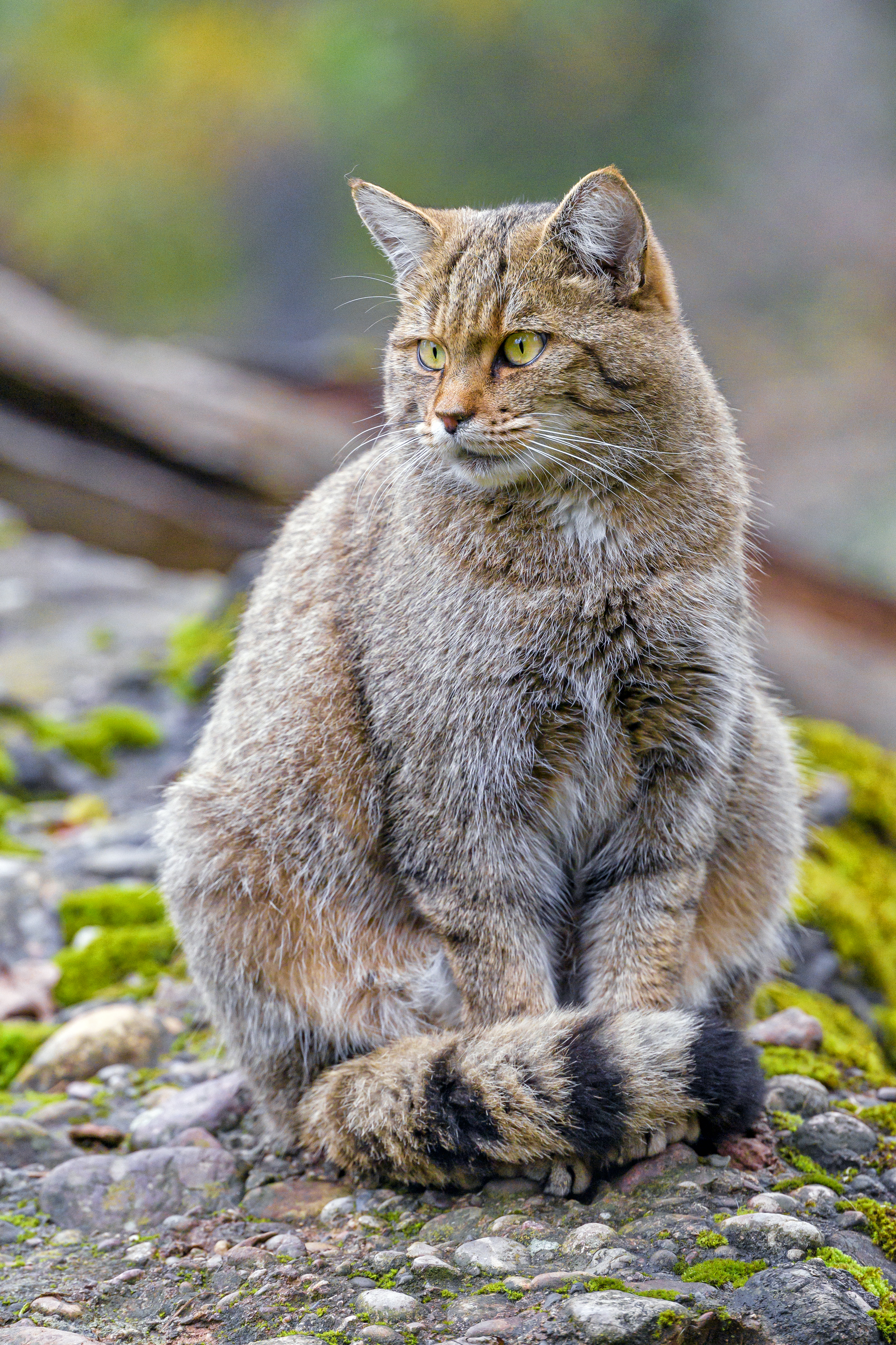 117486 download wallpaper Animals, Wild Cat, Wildcat, Cat, Brown, Animal screensavers and pictures for free