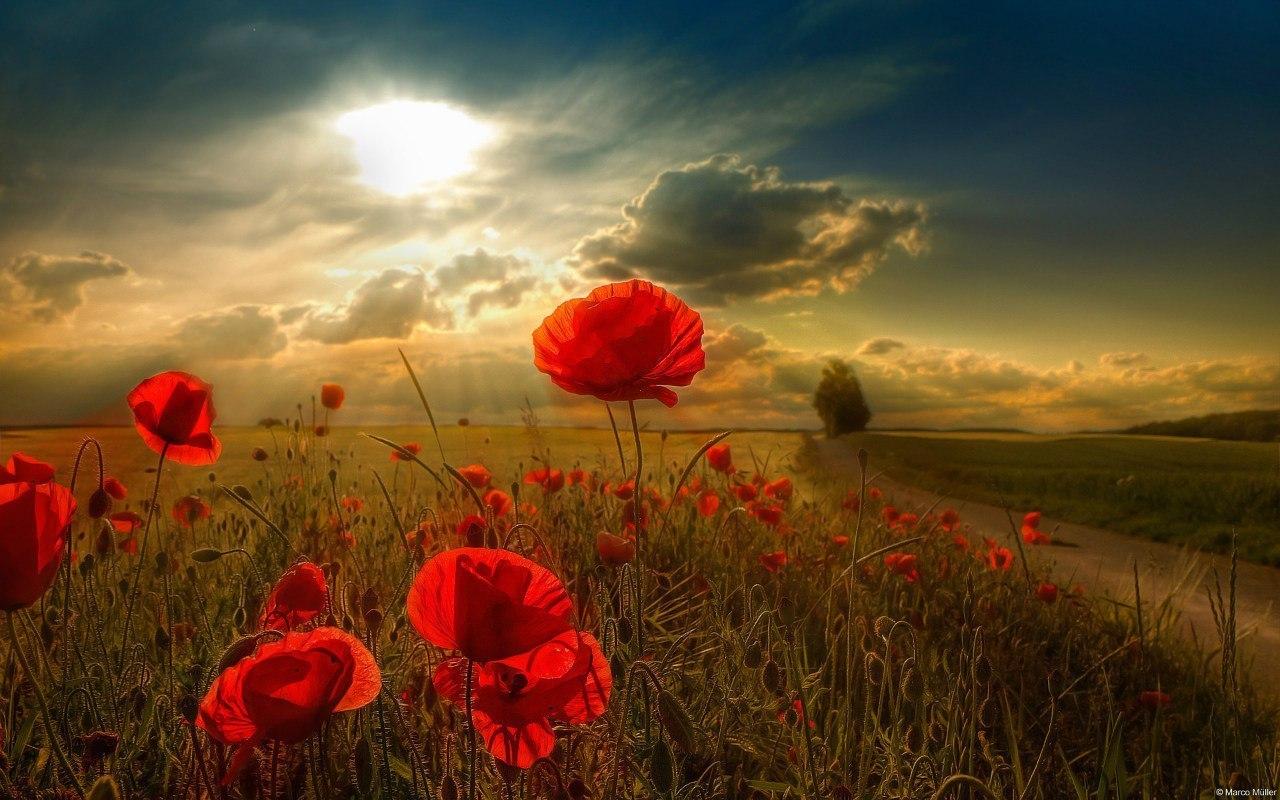 21044 скачать обои Пейзаж, Цветы, Поля, Маки, Солнце, Облака - заставки и картинки бесплатно