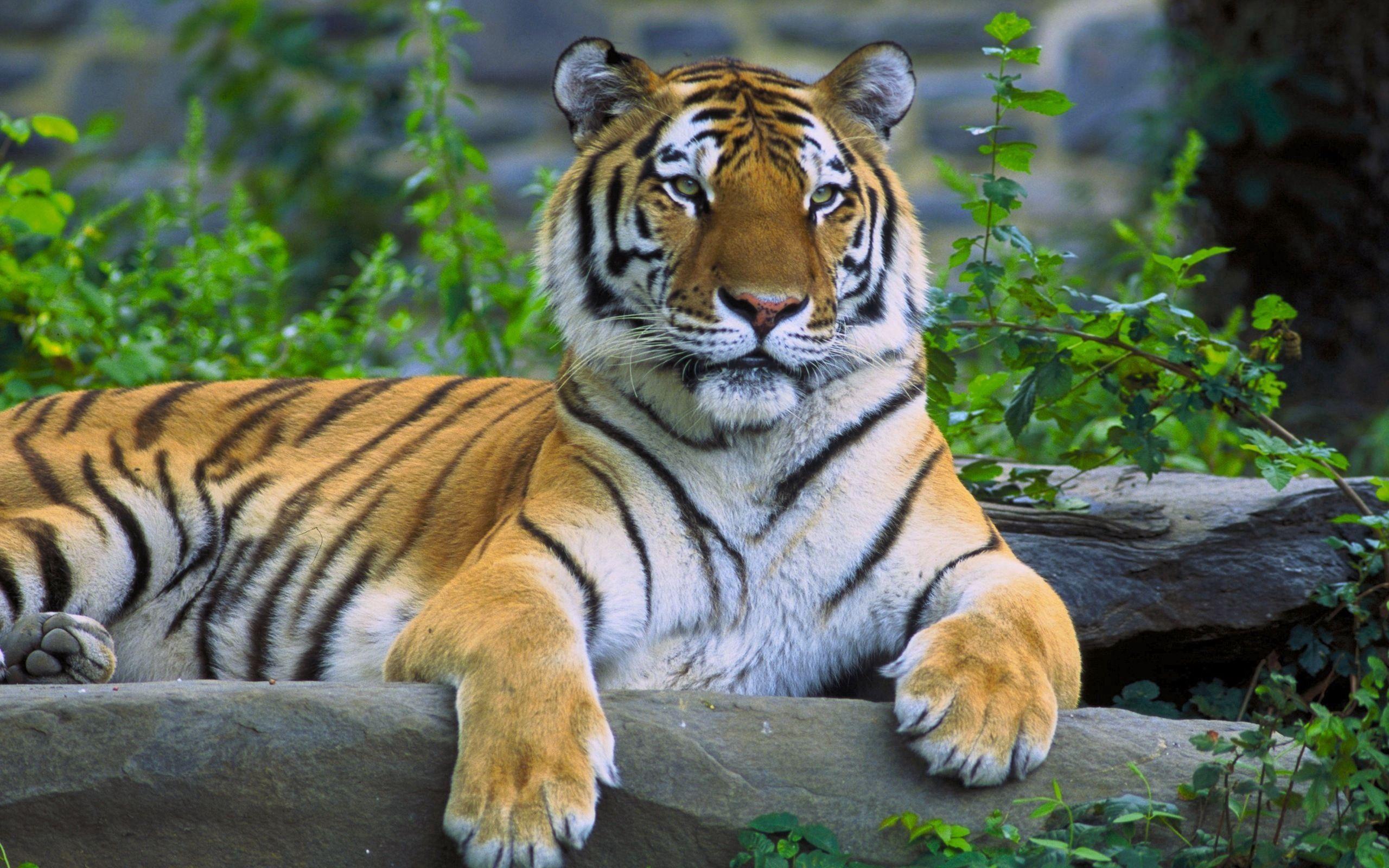 102561 скачать обои Животные, Тигр, Лежать, Трава, Хищник, Камень - заставки и картинки бесплатно