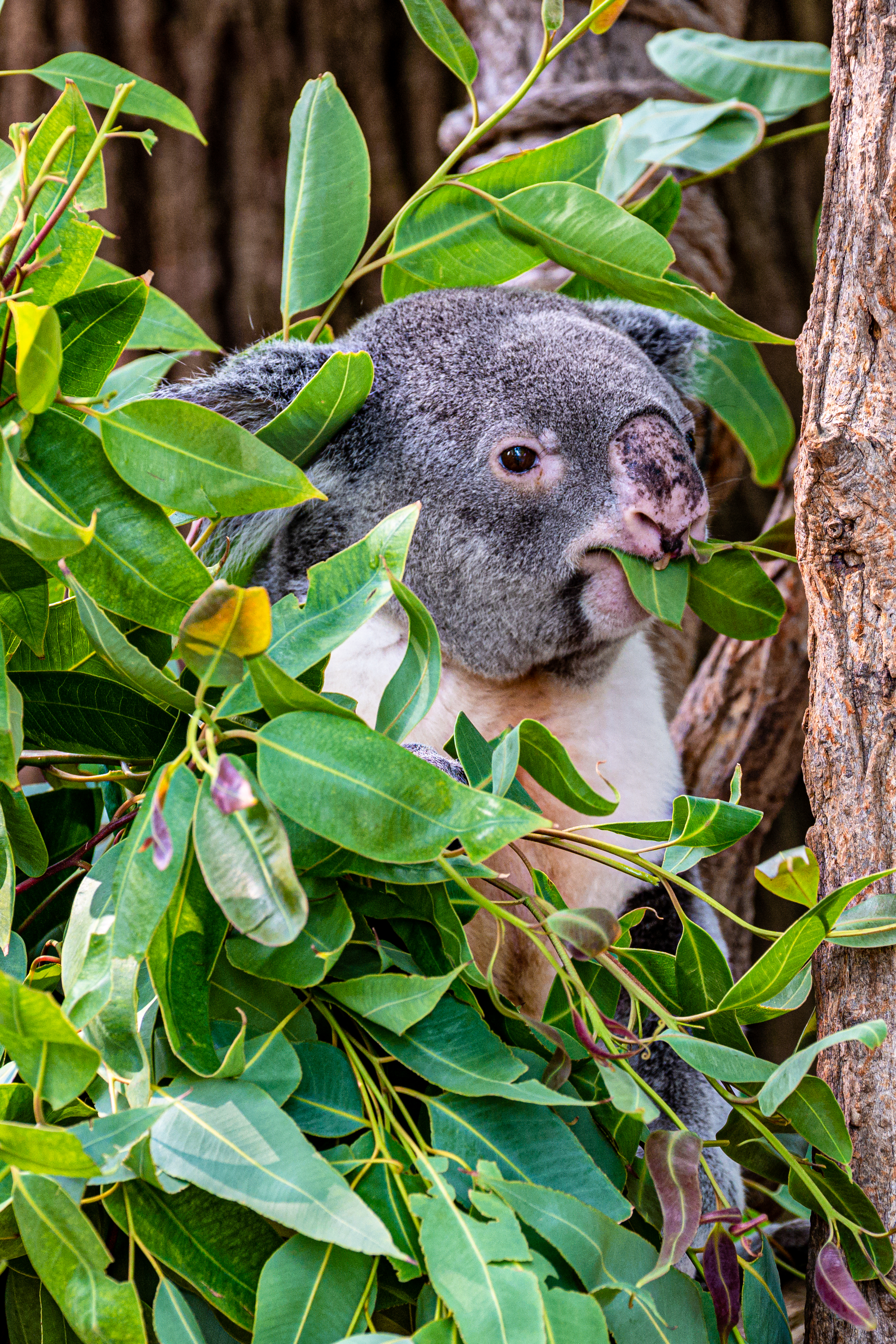 118302 download wallpaper Animals, Koala, Animal, Funny, Branches, Wood, Tree screensavers and pictures for free