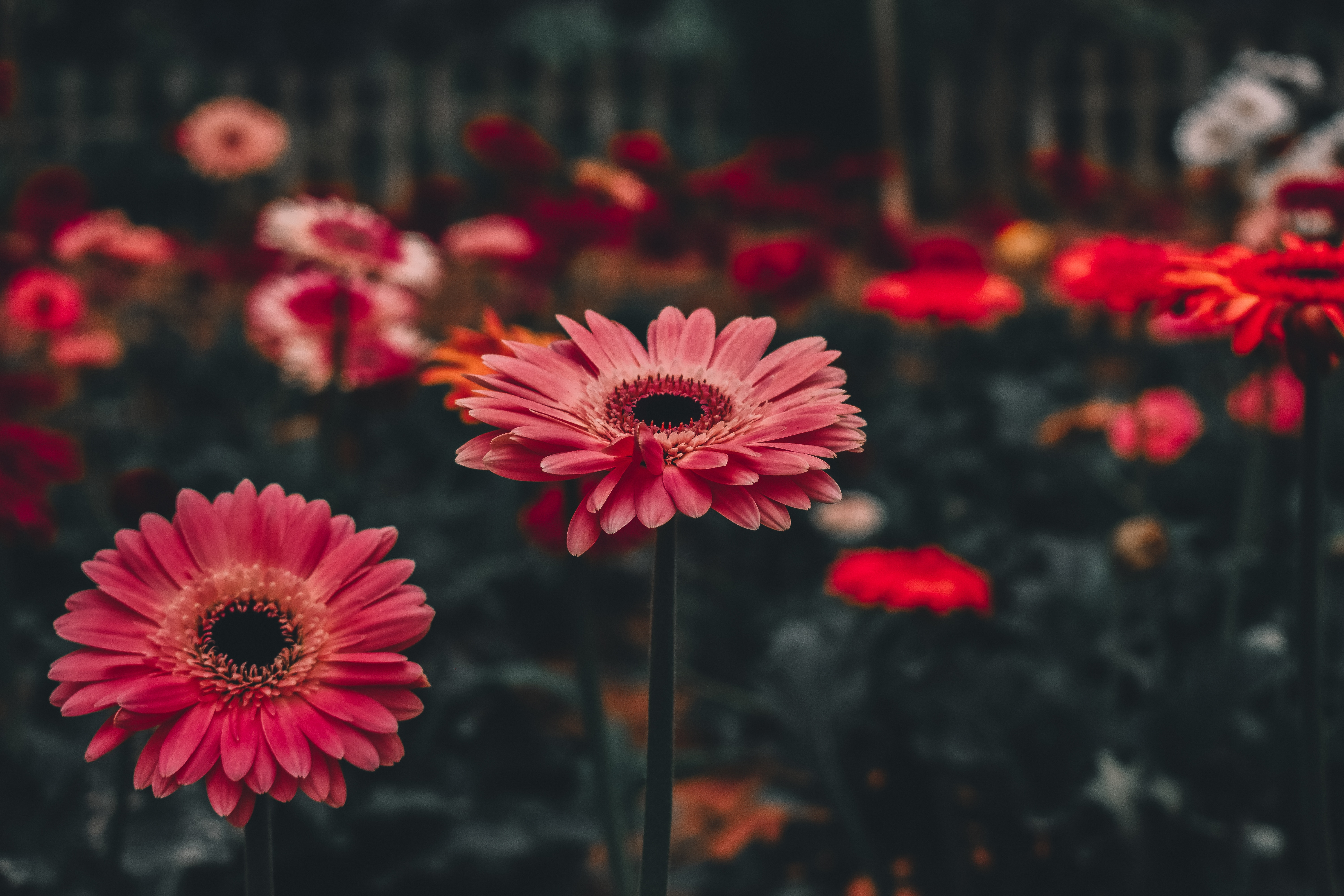 156688 download wallpaper Flower, Flowers, Gerbera, Stem, Stalk screensavers and pictures for free