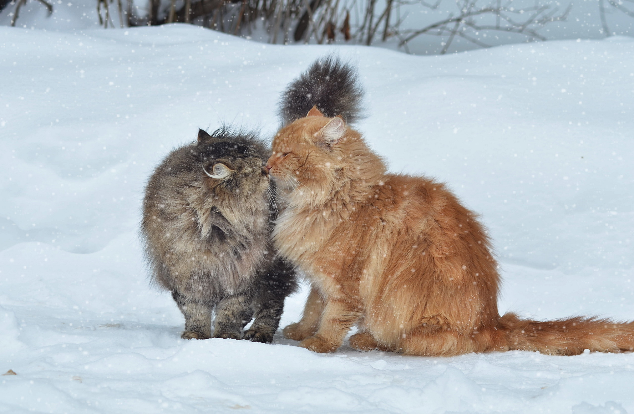 59853 Screensavers and Wallpapers Cats for phone. Download Animals, Cats, Couple, Pair, Snow, Winter, Kiss pictures for free