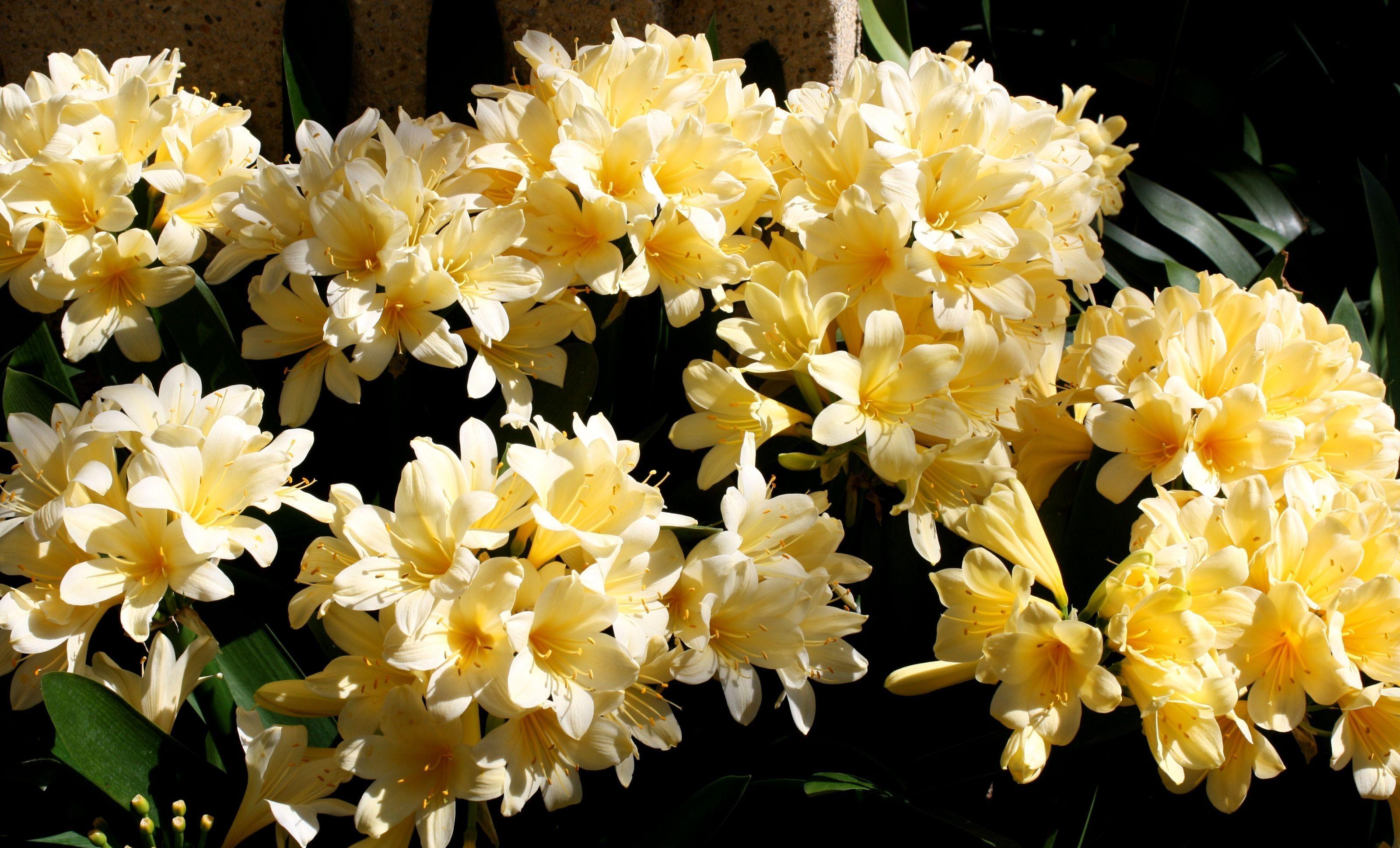 137758 скачать обои Цветы, Кливия, Нежные, Листья, Темный Фон - заставки и картинки бесплатно