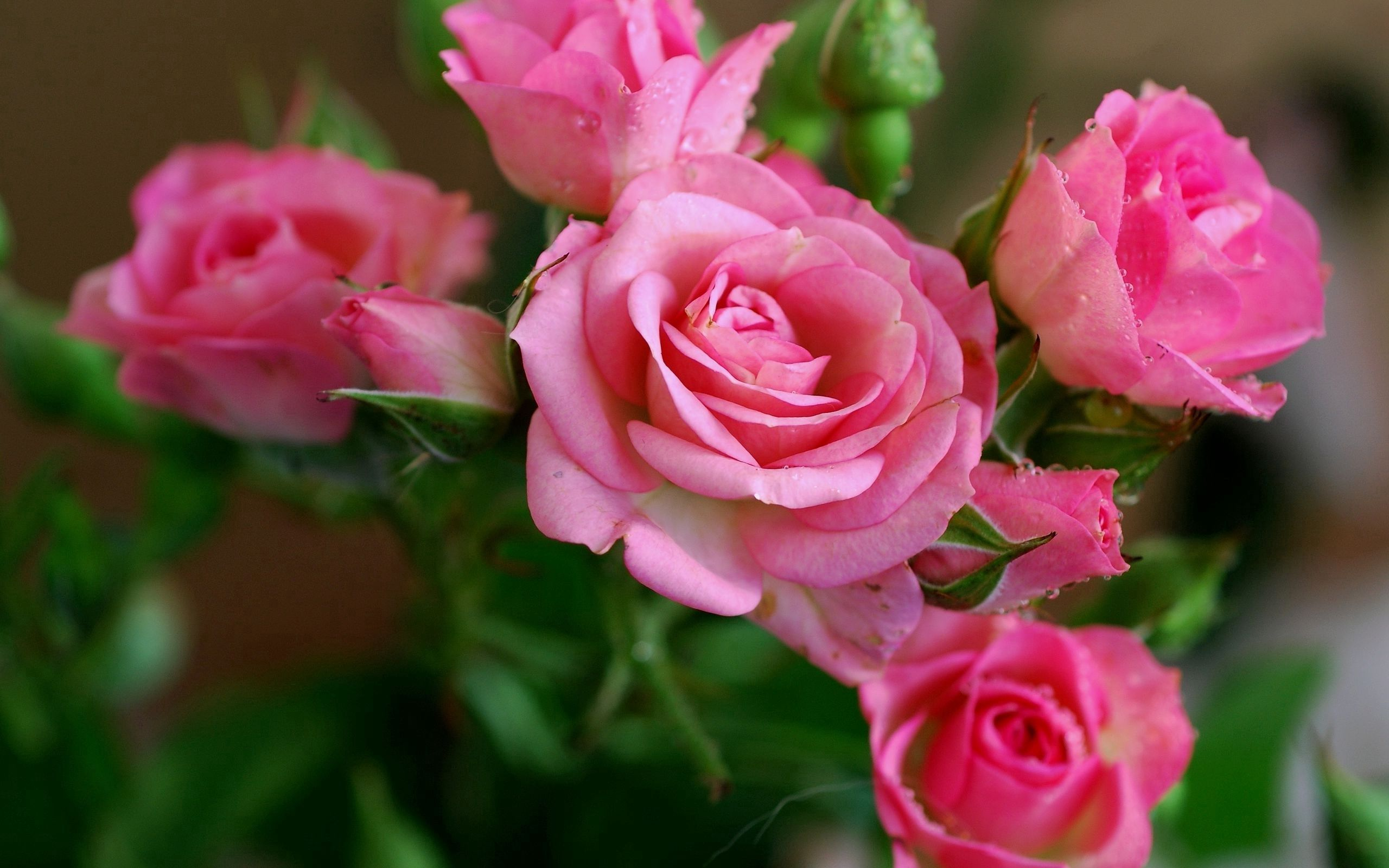 152952 download wallpaper Flowers, Buds, Drops, Dew, Roses screensavers and pictures for free
