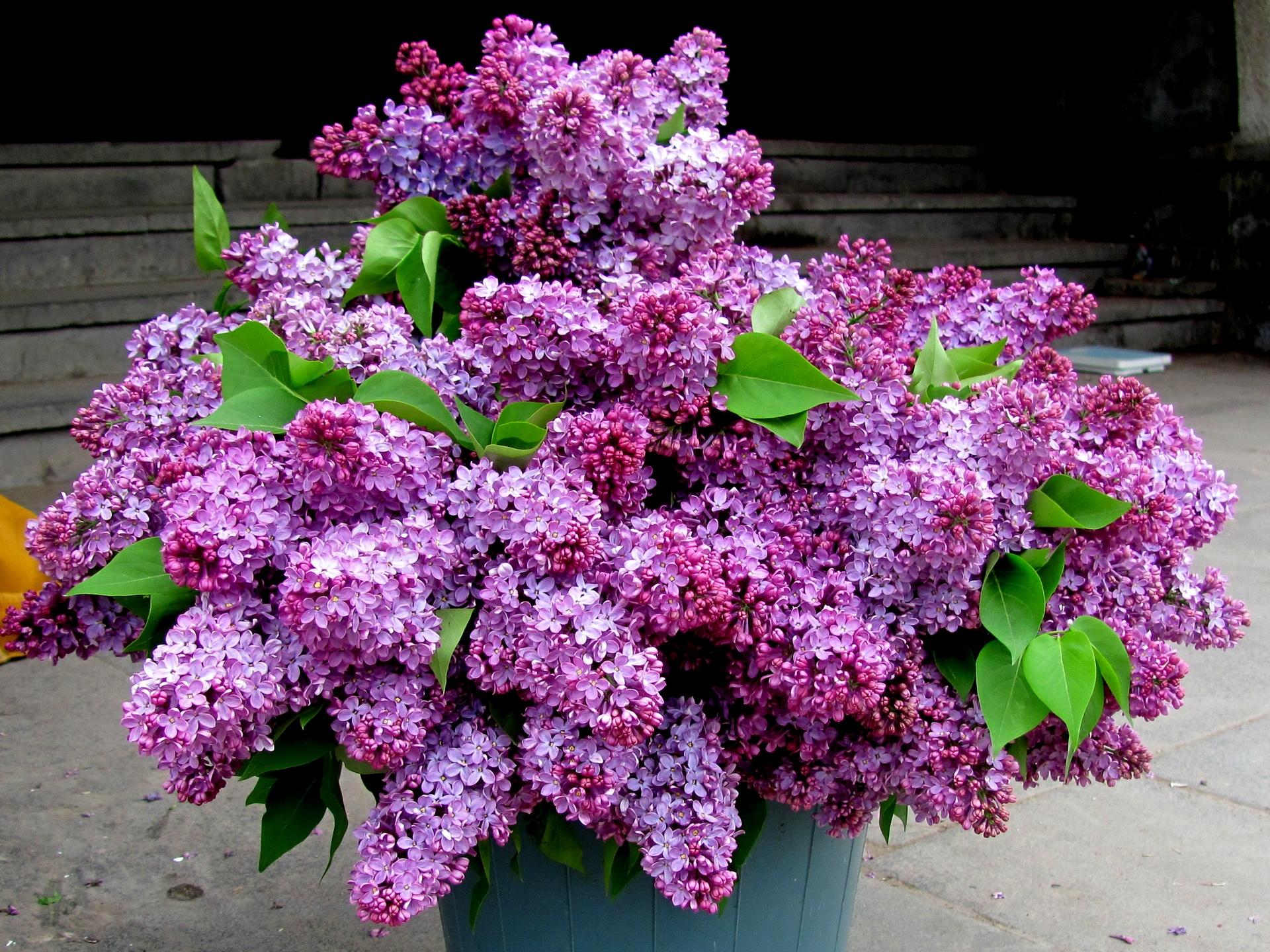 77628 скачать обои Весна, Сирень, Букет, Цветы, Листья, Ведро - заставки и картинки бесплатно