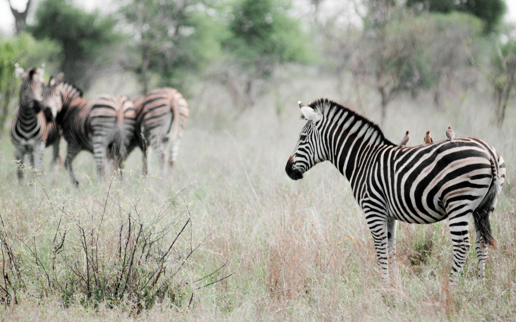 148234 download wallpaper Animals, Effect, Nature, Birds, Zebra screensavers and pictures for free