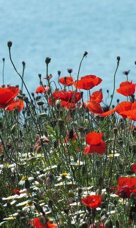 103375 скачать обои Цветы, Маки, Ромашки, Поляна - заставки и картинки бесплатно