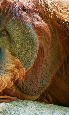 65461 download wallpaper Animals, Orangutan, Monkey, Pensive screensavers and pictures for free