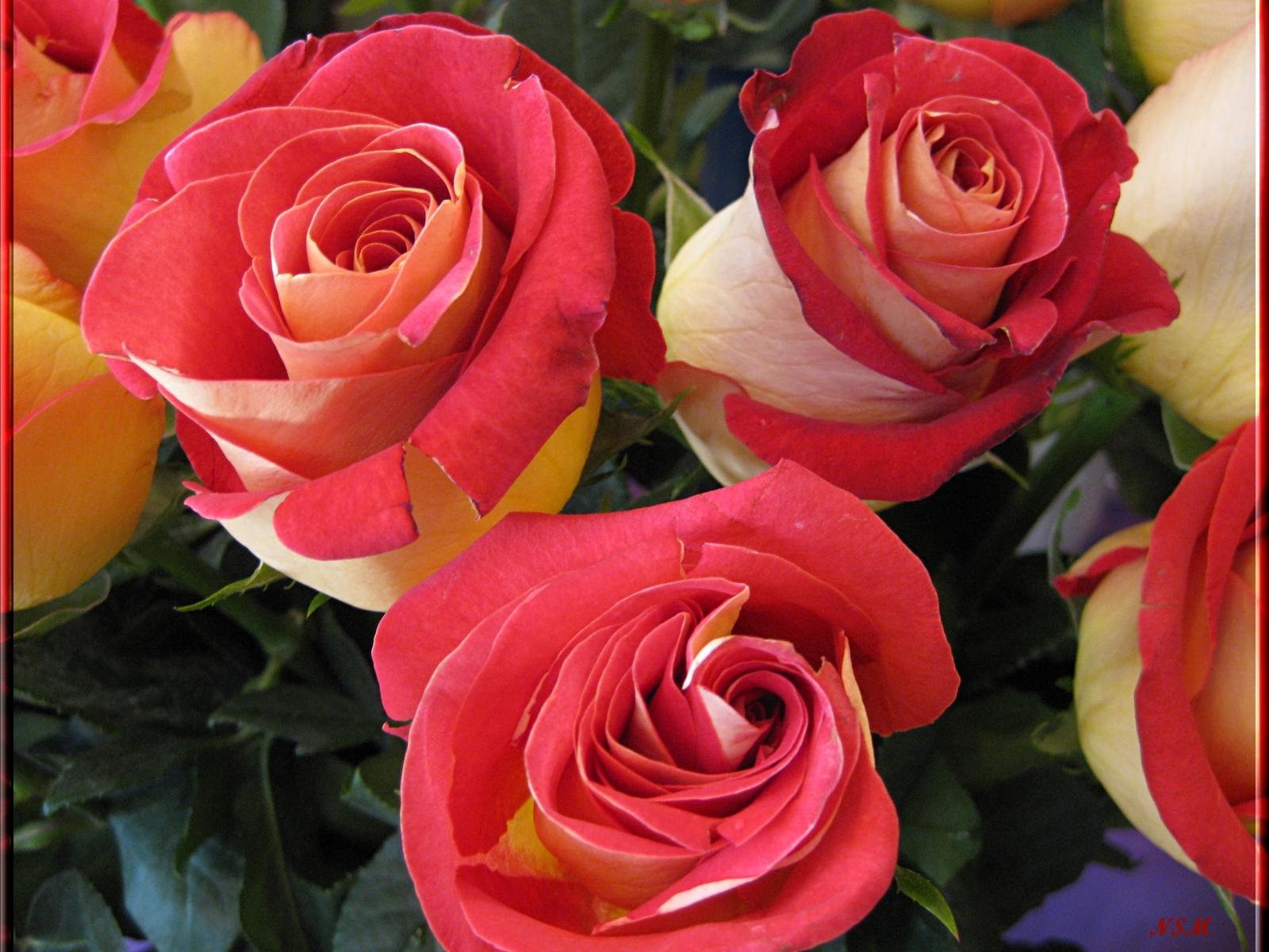 3657 скачать обои Растения, Цветы, Розы - заставки и картинки бесплатно