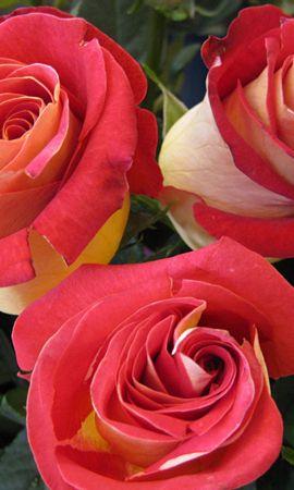 3657 descargar fondo de pantalla Plantas, Flores, Roses: protectores de pantalla e imágenes gratis