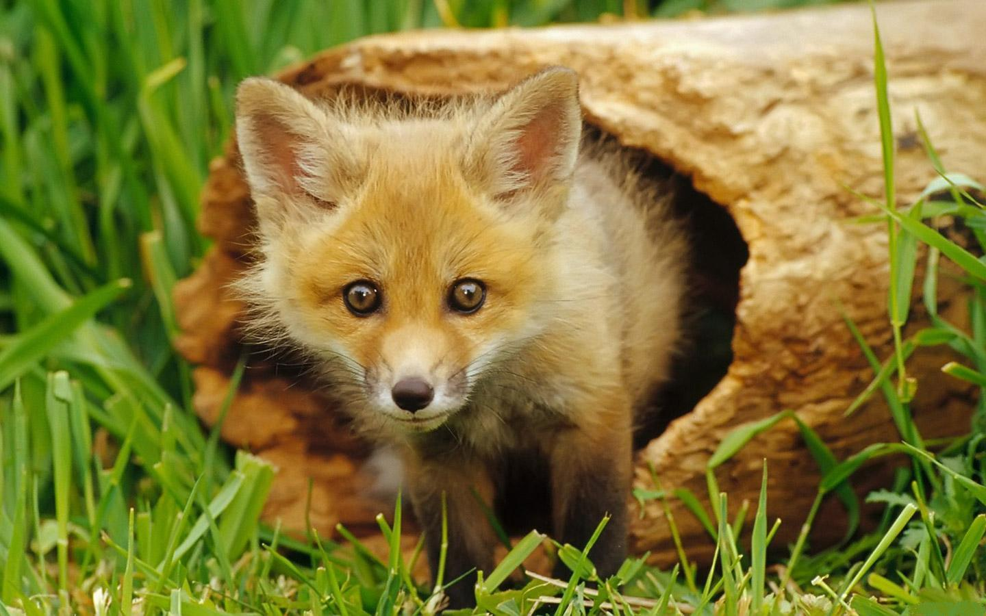 46746 download wallpaper Animals, Fox screensavers and pictures for free