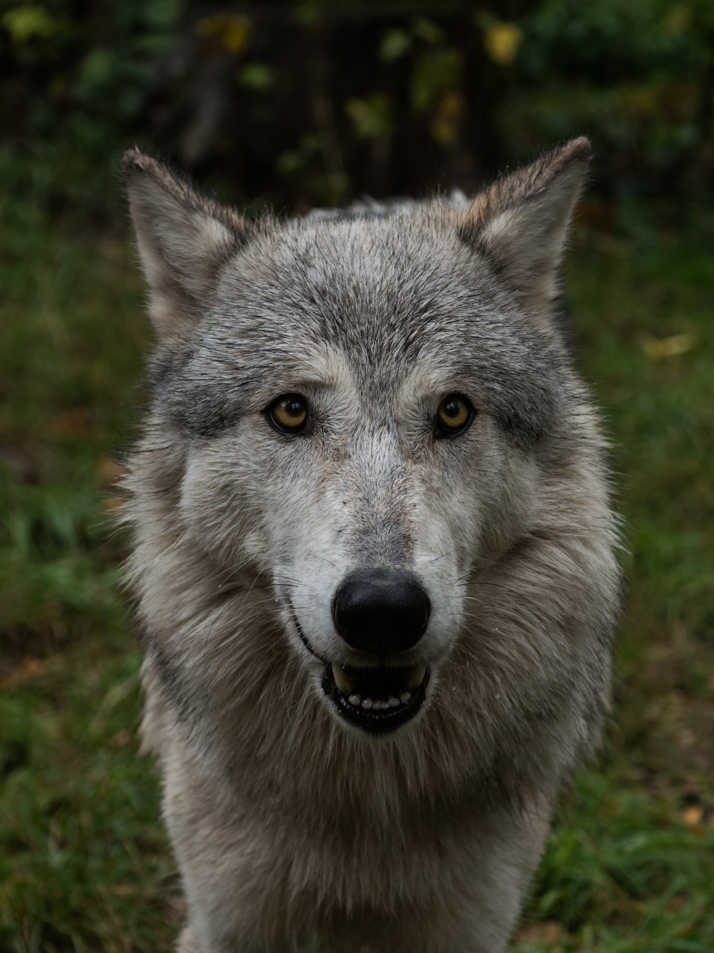 91476 download wallpaper Animals, Wolf, Nice, Sweetheart, Muzzle screensavers and pictures for free
