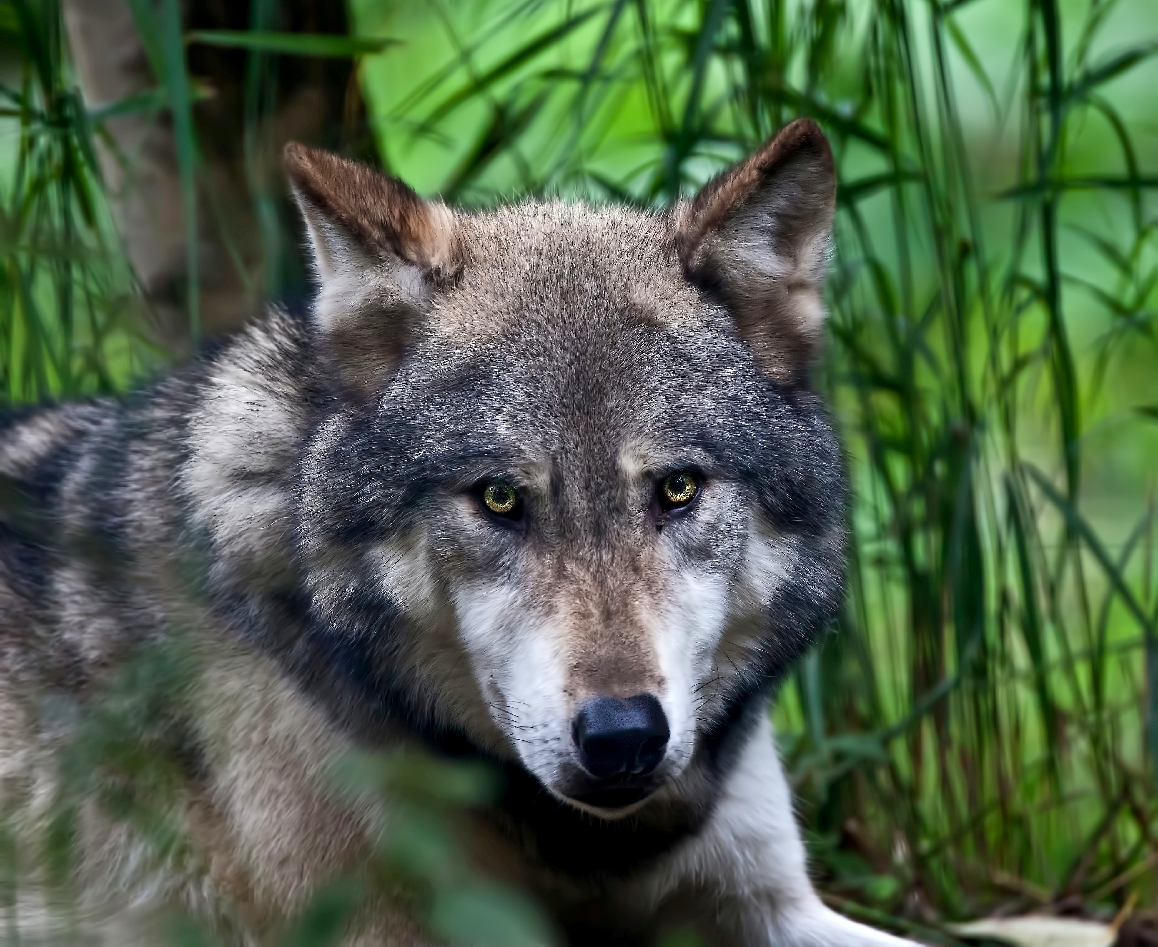 107766 Screensavers and Wallpapers Color for phone. Download Animals, Muzzle, Predator, Color, Wolf pictures for free