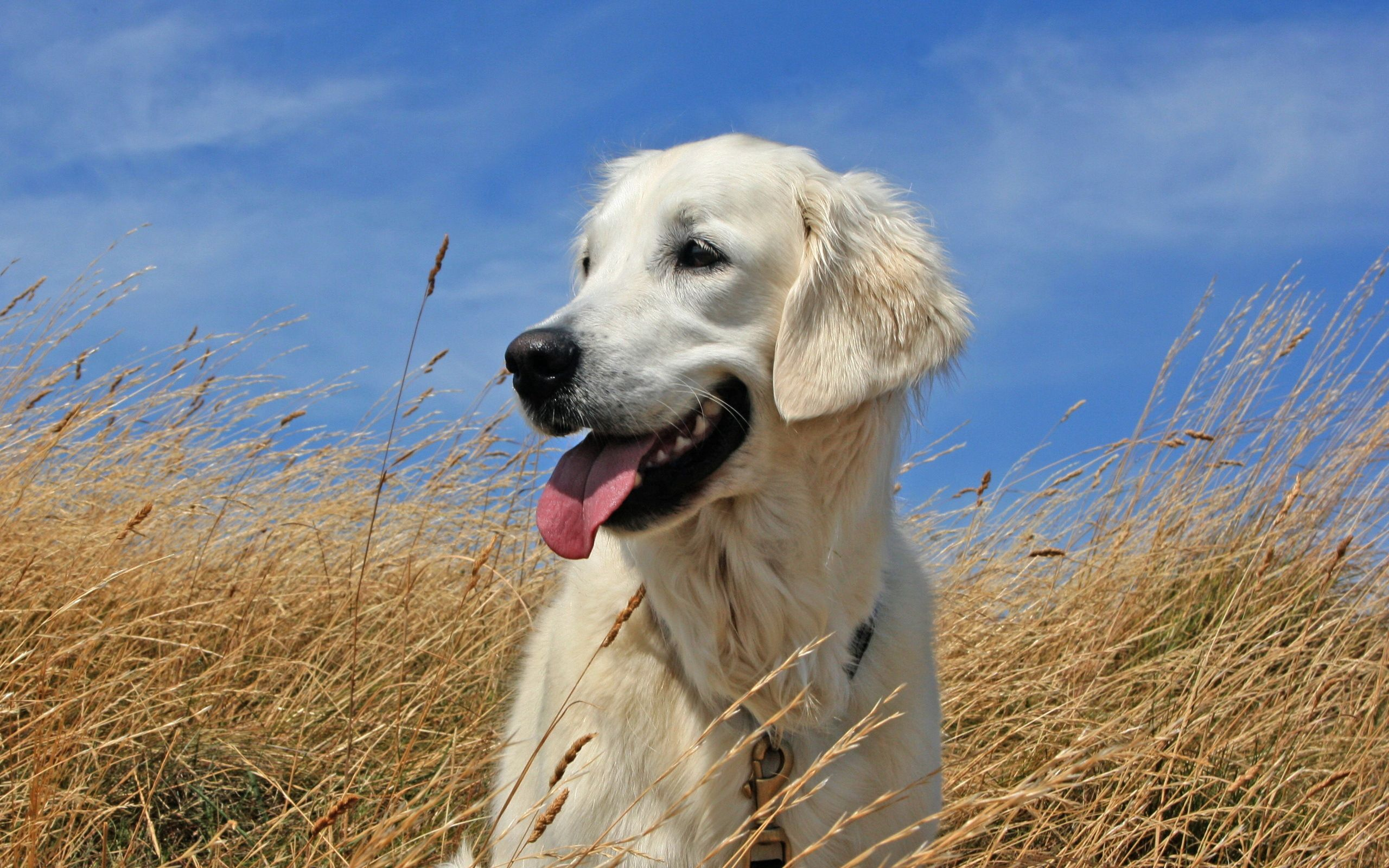 147577 download wallpaper Animals, Dog, Labrador, To Lie Down, Lie, Grass screensavers and pictures for free