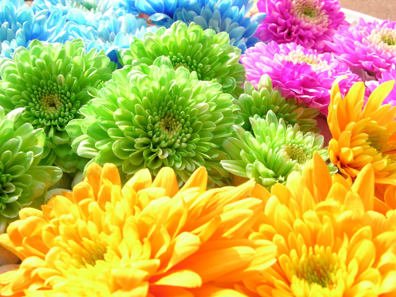 Скачать картинку Фон, Растения, Радуга, Хризантемы, Цветы в телефон бесплатно.