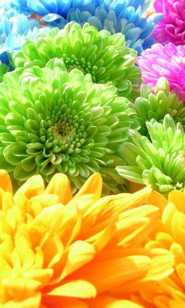 10745 скачать обои Растения, Цветы, Фон, Хризантемы, Радуга - заставки и картинки бесплатно