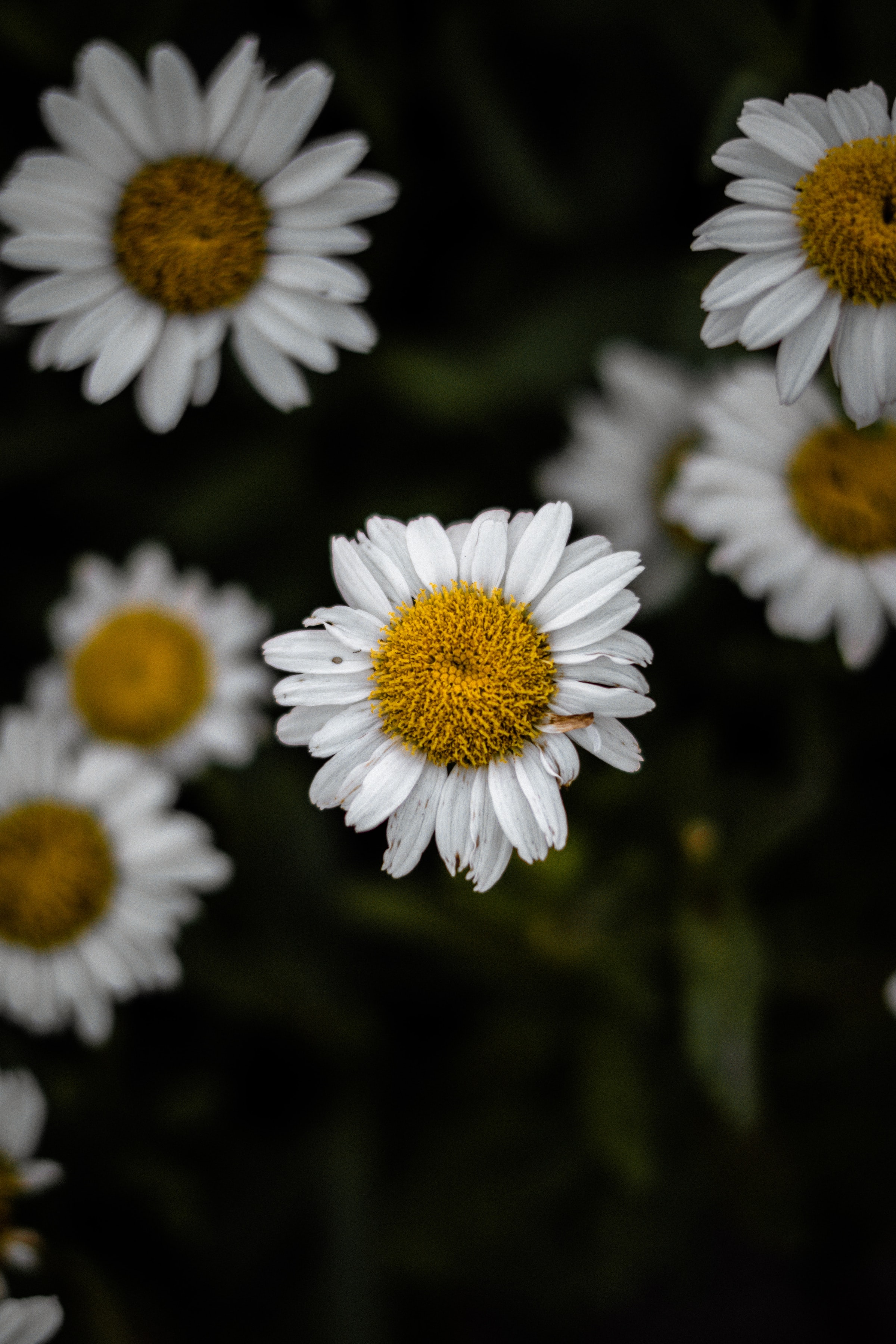 149754 download wallpaper Flowers, Chamomile, Camomile, Wildflowers, Petals, Focus screensavers and pictures for free