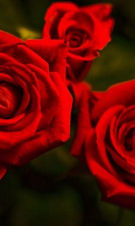 48633 скачать обои Растения, Цветы, Розы - заставки и картинки бесплатно
