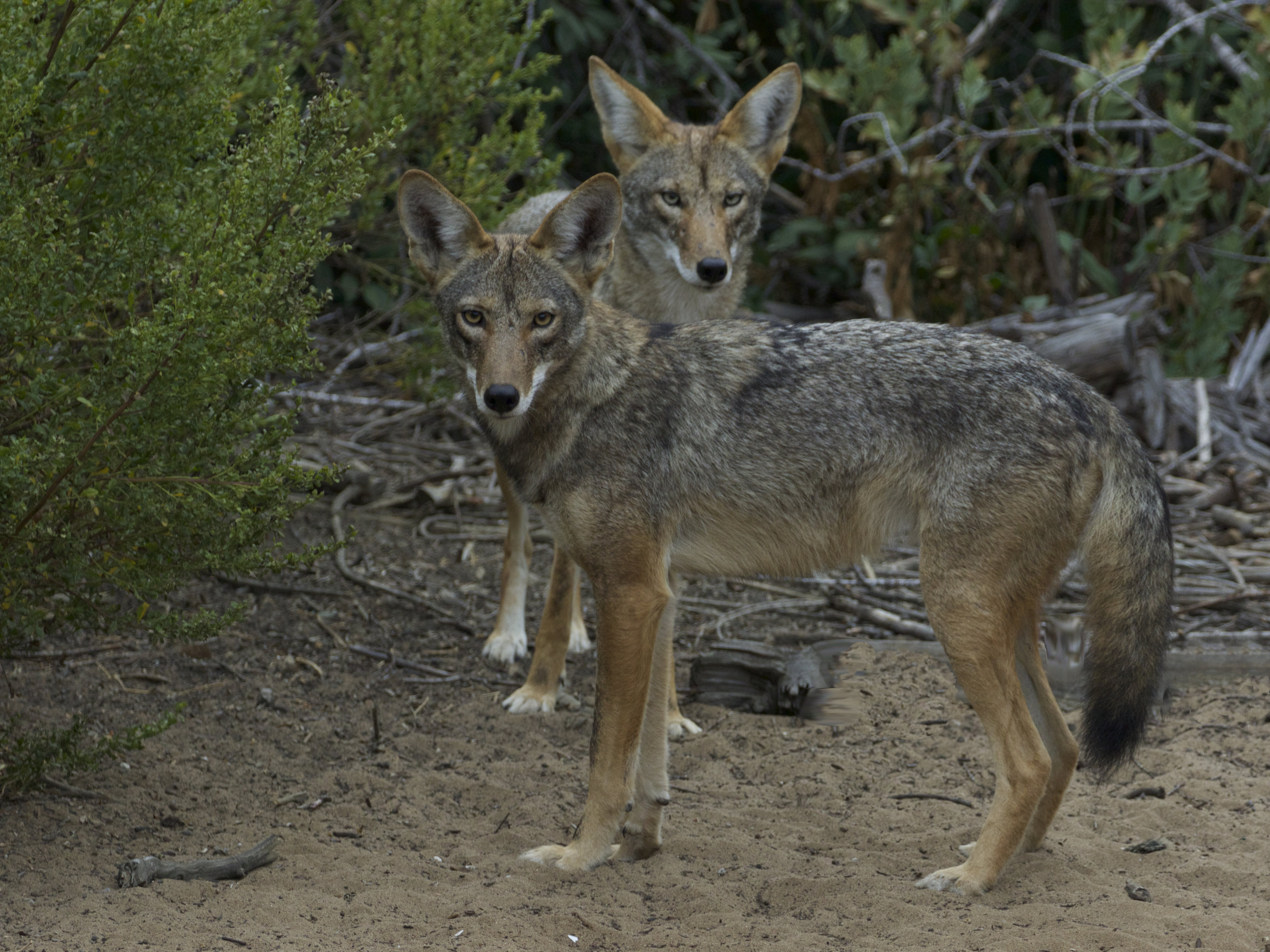 60034 download wallpaper Animals, Coyotes, Muzzle, Predator, Animal, Sight, Opinion screensavers and pictures for free