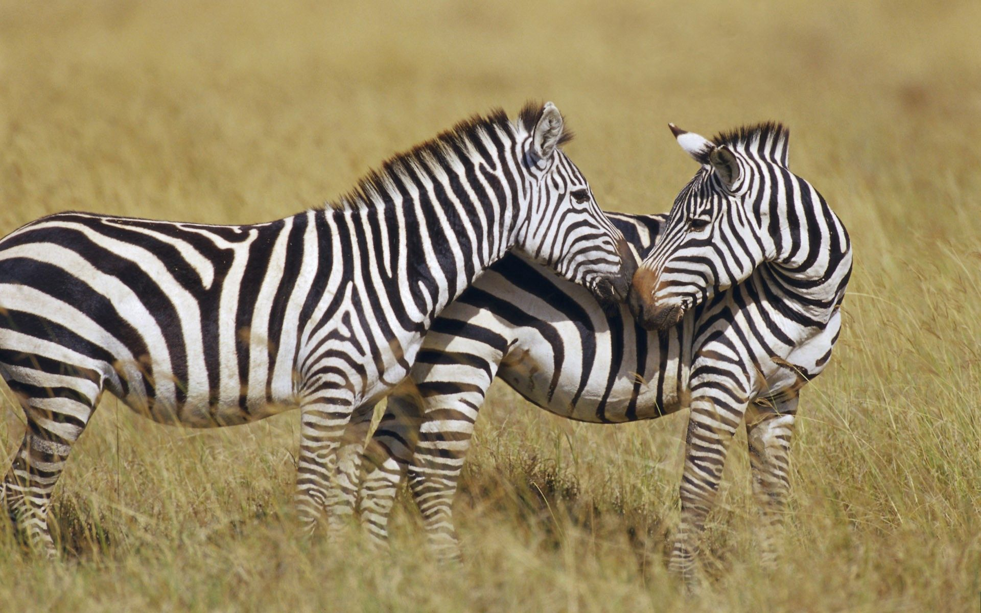 97899 download wallpaper Animals, Grass, Stripes, Streaks, To Stand, Stand, Zebra screensavers and pictures for free