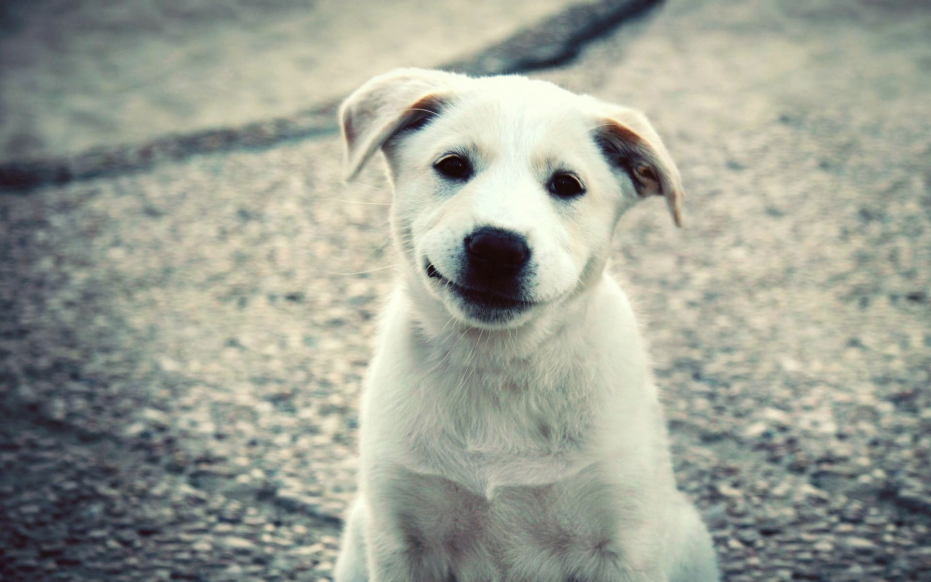 143516 download wallpaper Animals, Puppy, Labrador, Smile, Nice, Sweetheart screensavers and pictures for free