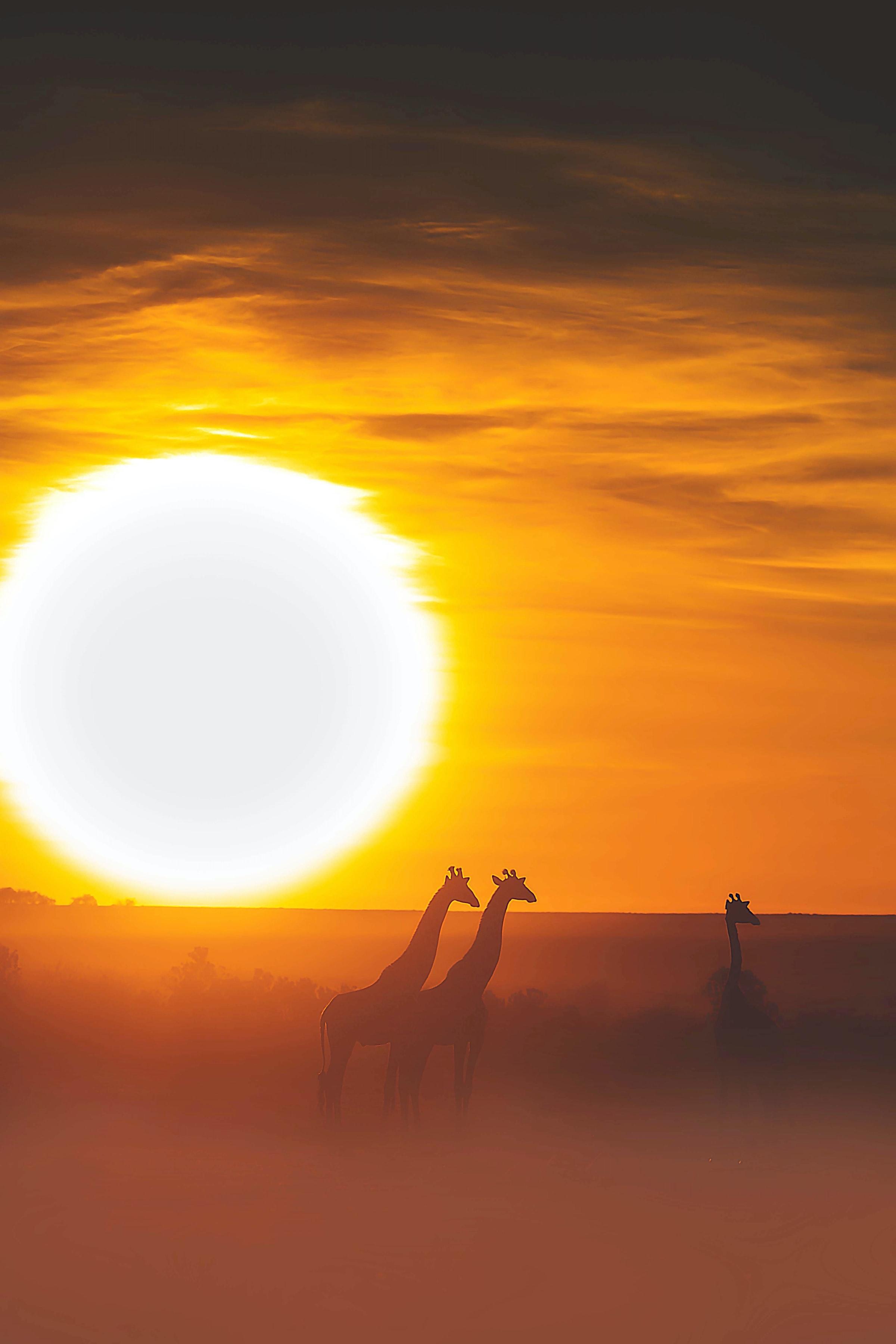 78889 免費下載壁紙 动物, 长颈鹿, 苹果浏览器, 野生动物园, 日落, 太阳 屏保和圖片