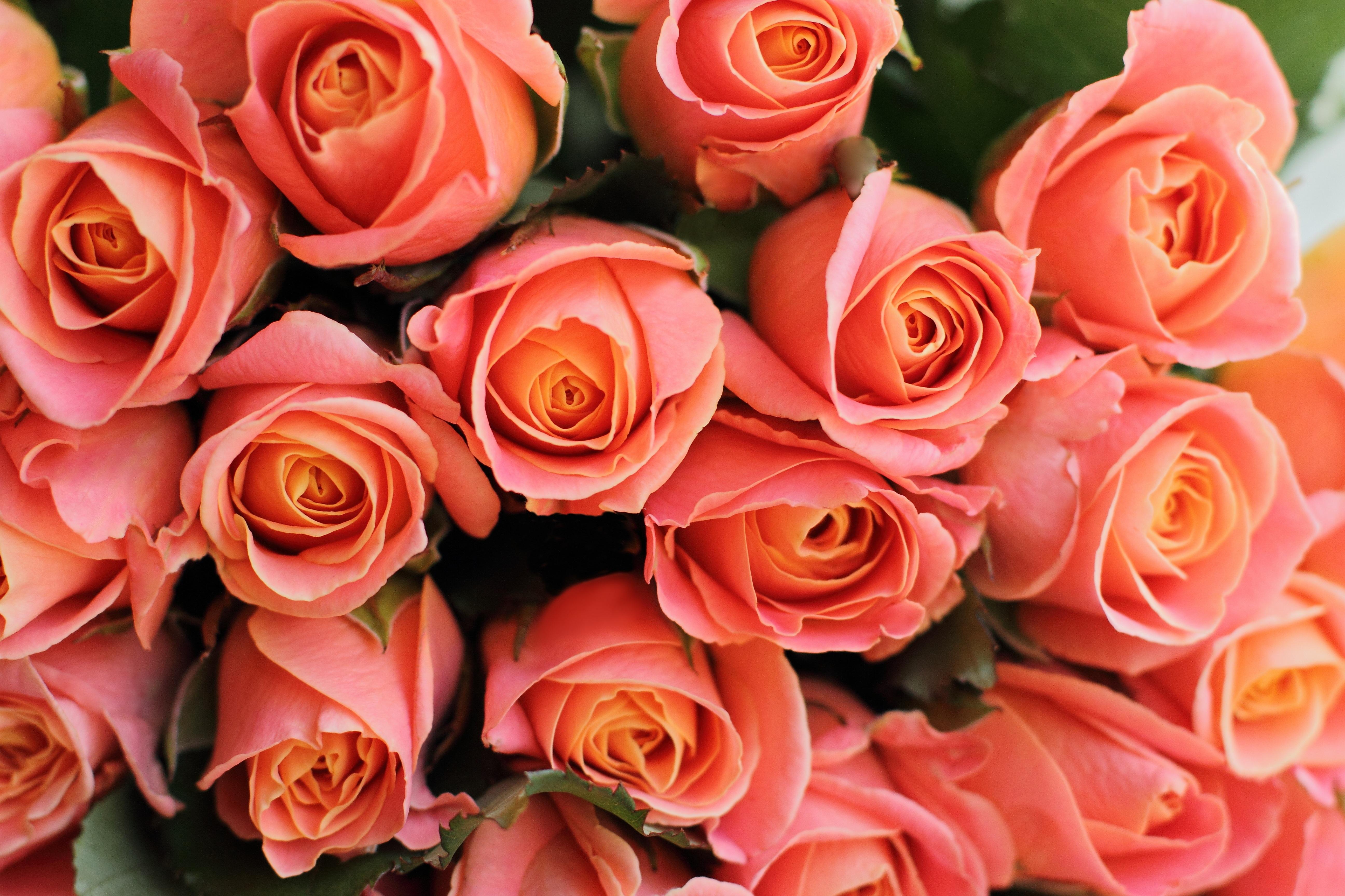 93106 скачать обои Цветы, Букет, Розовый, Коралловый, Подарок, Романтичный, Розы - заставки и картинки бесплатно