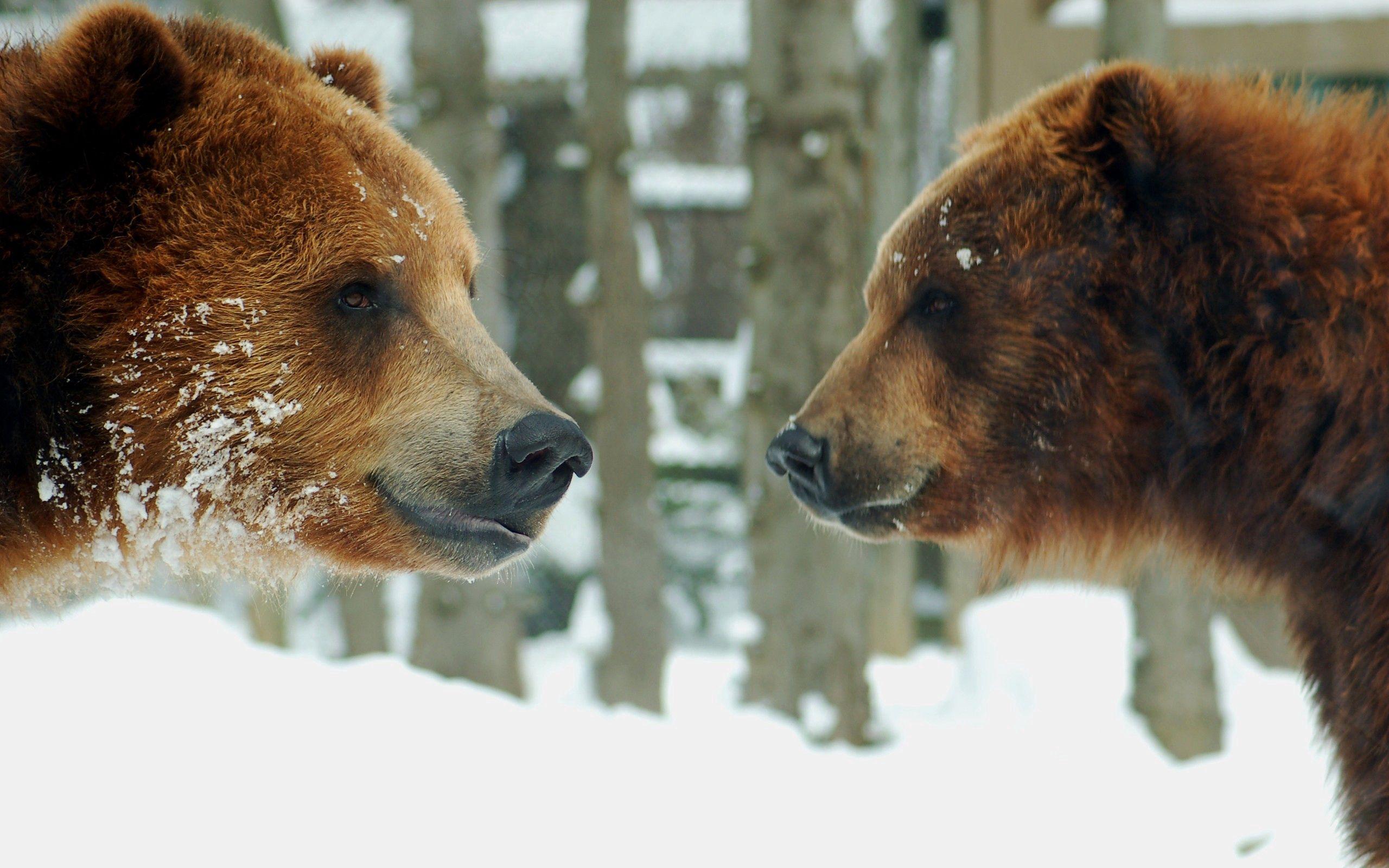 141889 Заставки и Обои Медведи на телефон. Скачать Медведи, Животные, Снег, Пара, Бурый картинки бесплатно