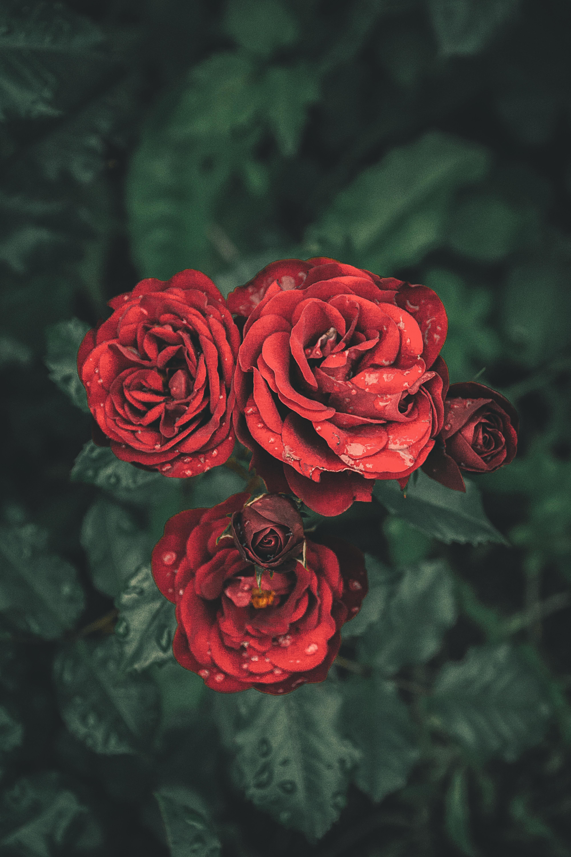 150852 скачать обои Цветы, Розы, Капли, Лепестки, Бутоны - заставки и картинки бесплатно