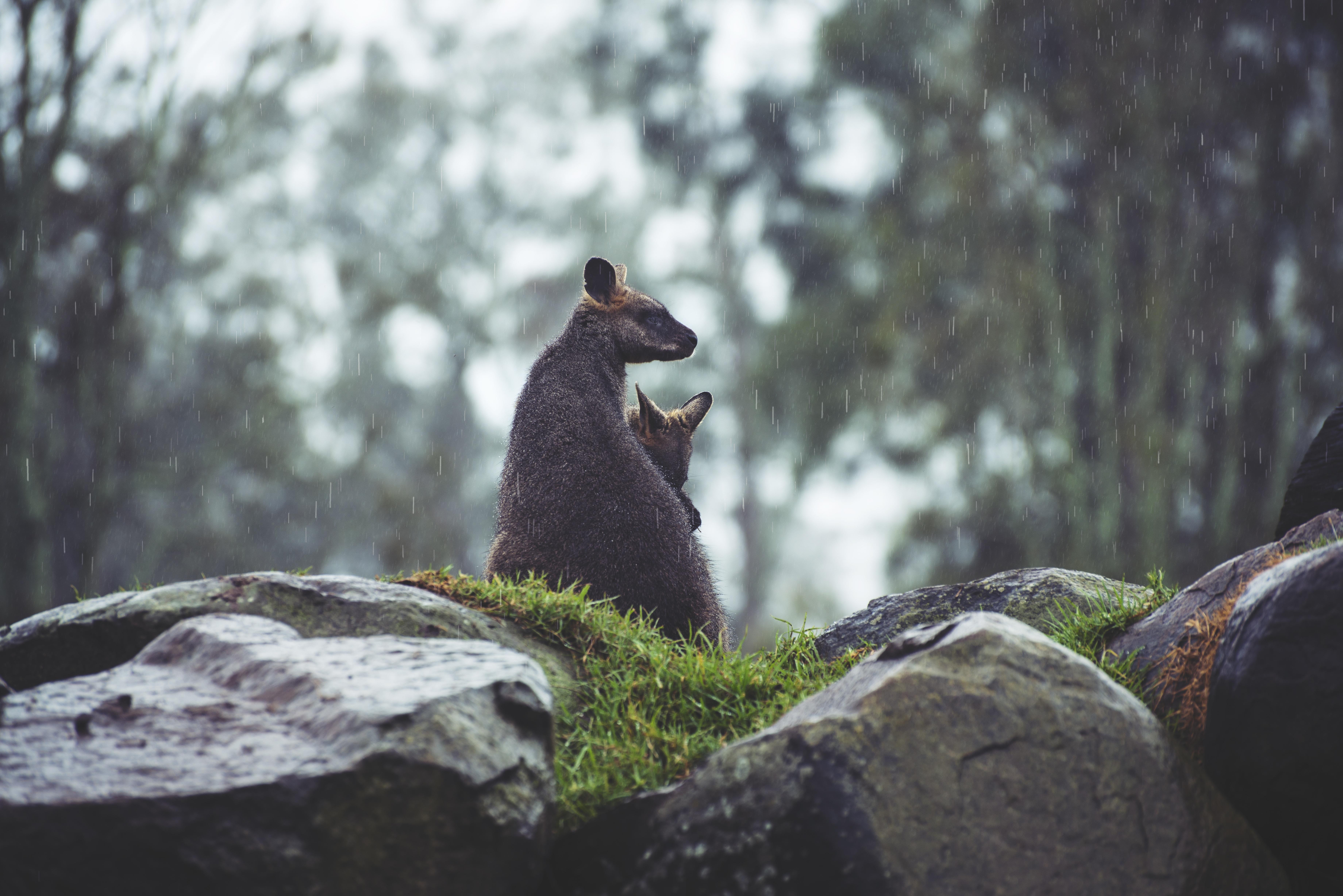 51765 download wallpaper Animals, Kangaroo, Couple, Pair, Young, Joey, Grass, Stones, Rain screensavers and pictures for free