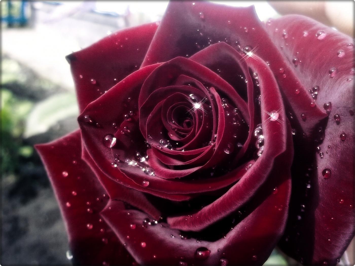 43556 скачать обои Растения, Цветы, Розы - заставки и картинки бесплатно